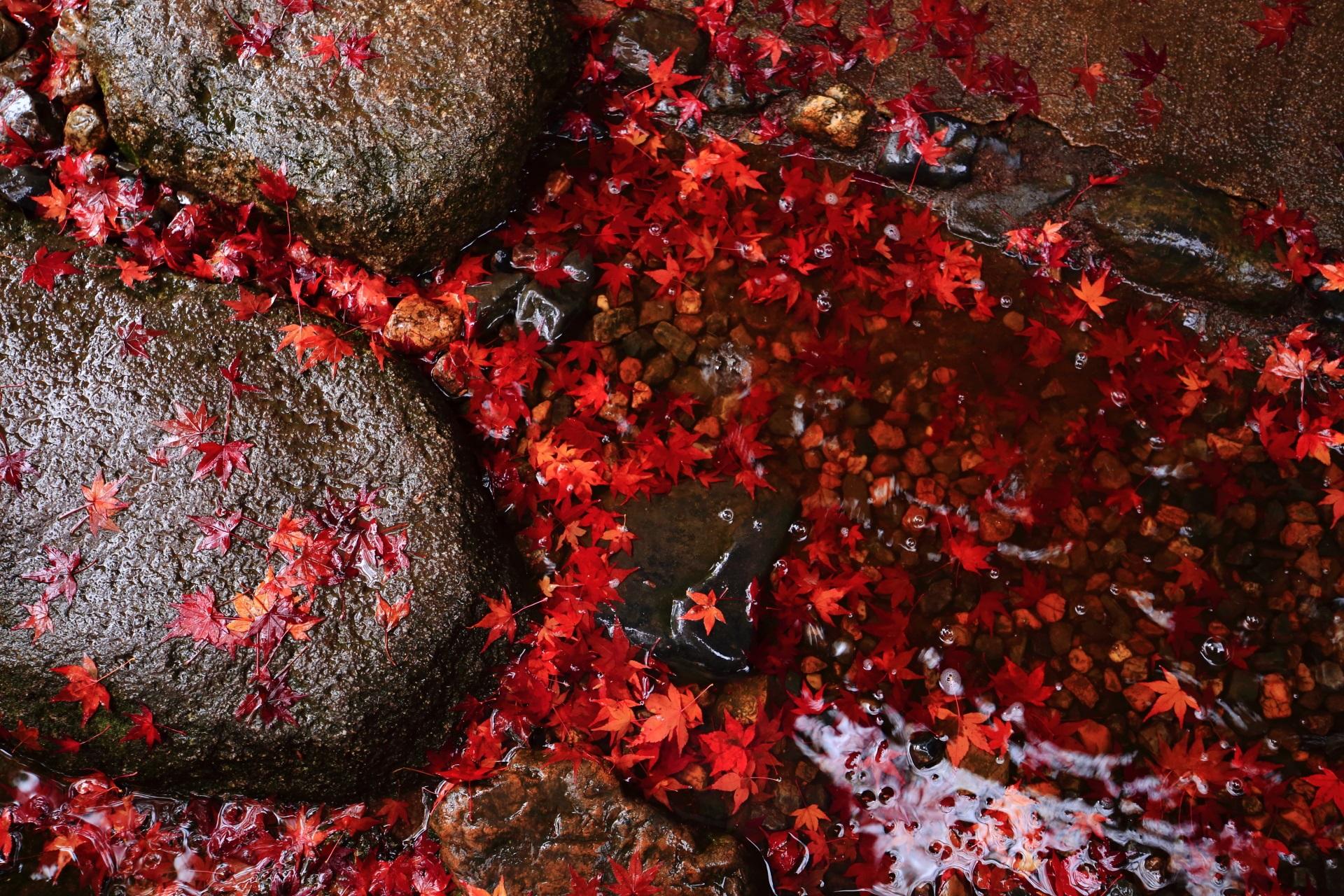 溜まった雨水も赤く見えてしまうような散り紅葉