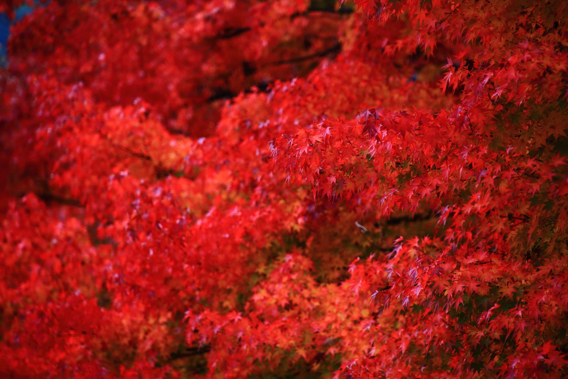 colored leaves Koetsu-ji Temple in Kyoto,Japan