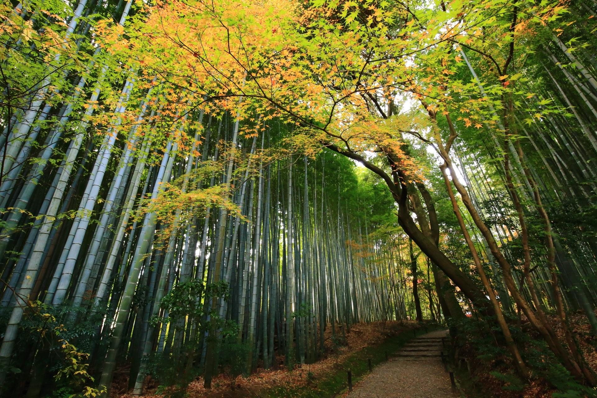 上品な秋色が広がる地蔵院の淡い紅葉の竹の道