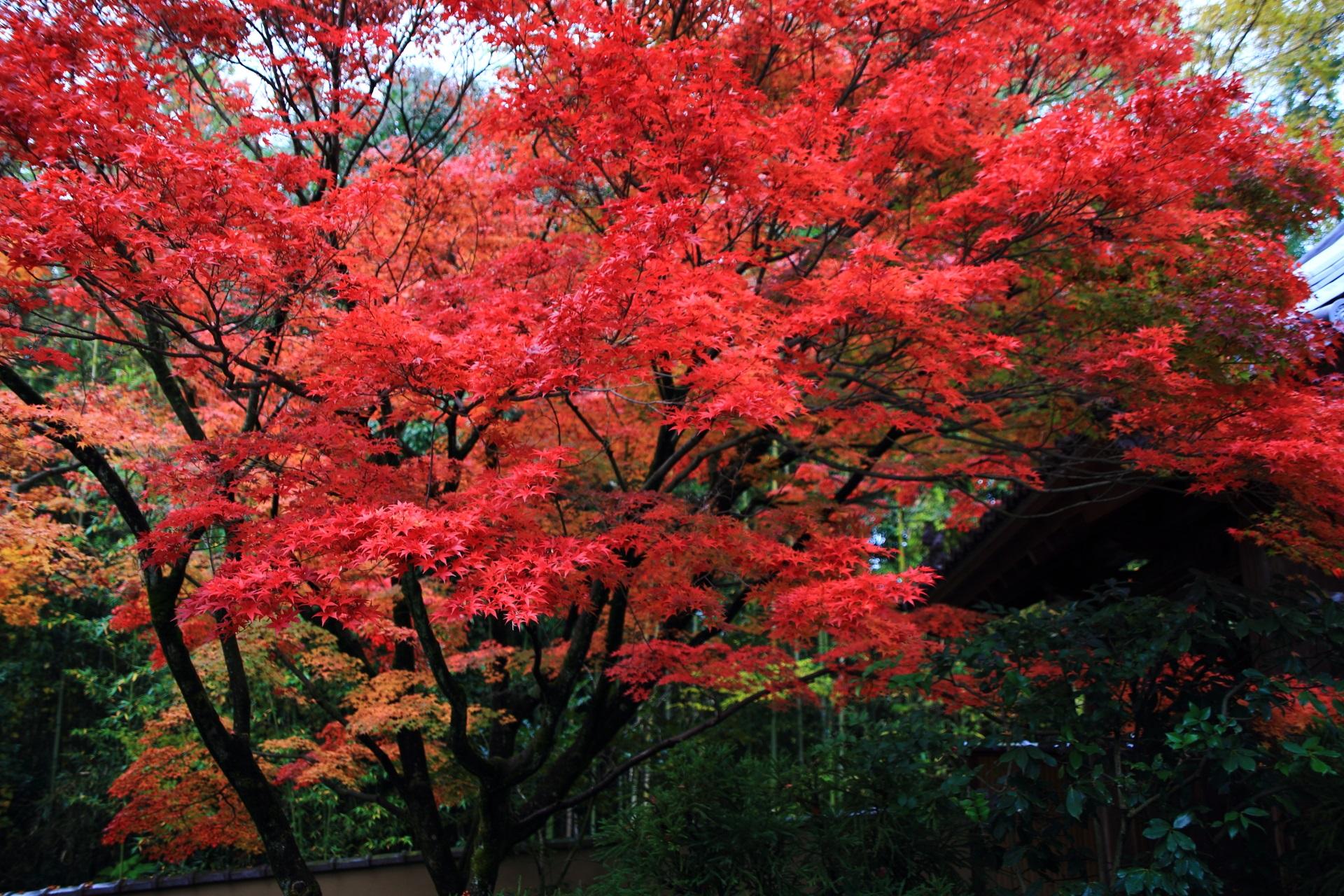 光悦寺の参道を華やぐ真っ赤に色づいた紅葉