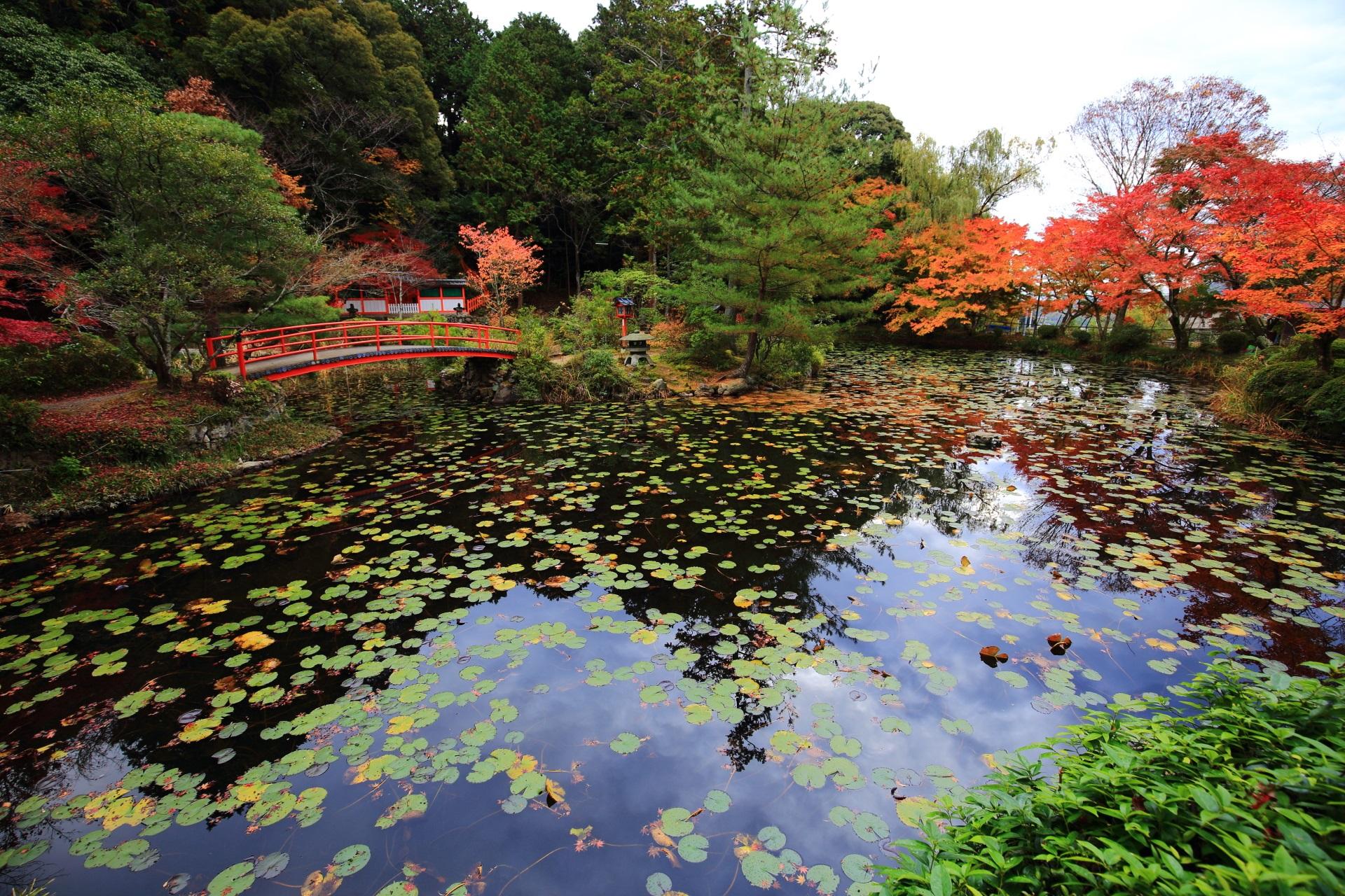 華やかな紅葉と睡蓮の葉が綺麗な鯉沢の池