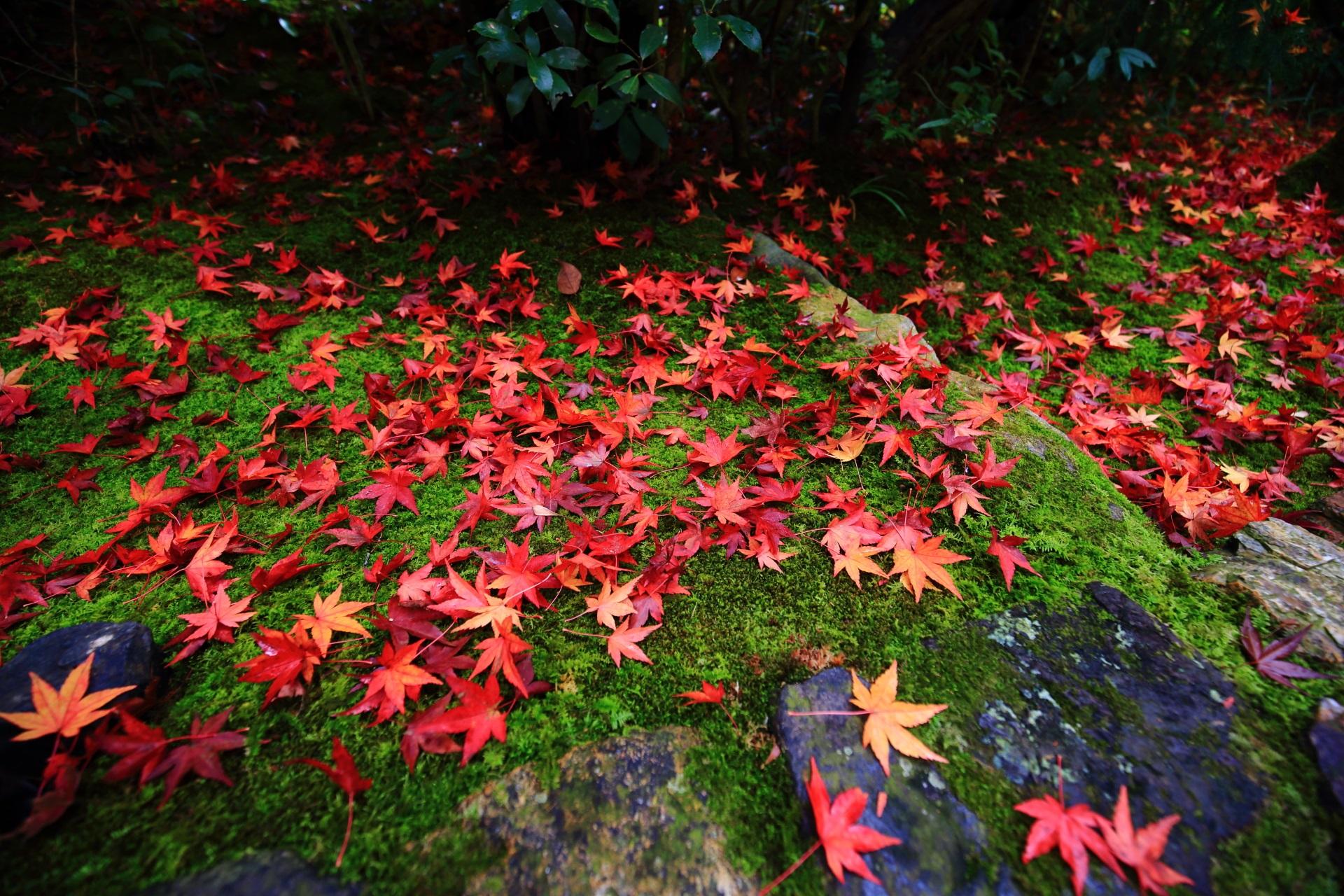 光悦寺の雨上がりの苔を染める極上の散りもみじ