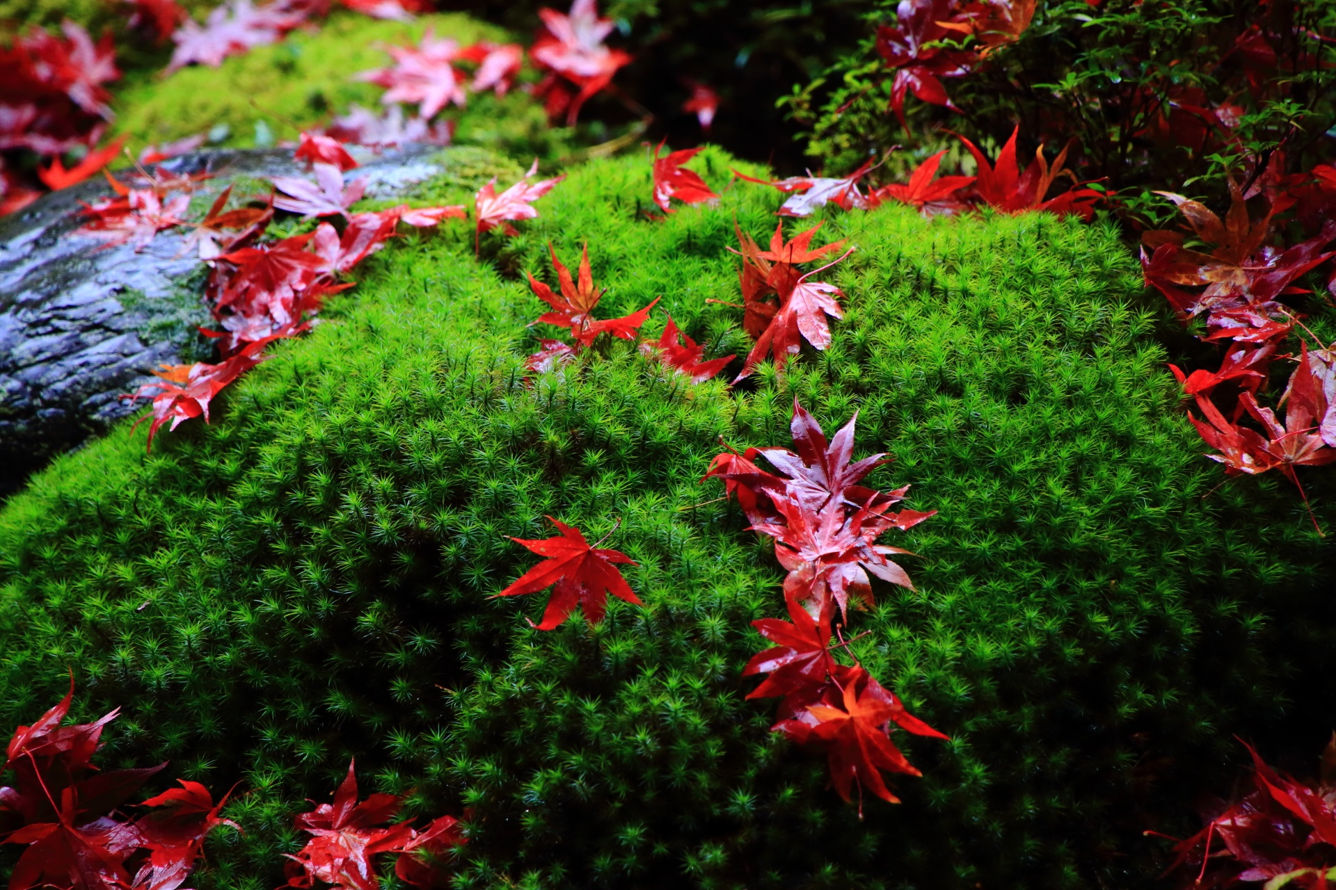 autumn leaves and moss Nanzen-in Temple in Kyoto,Japan