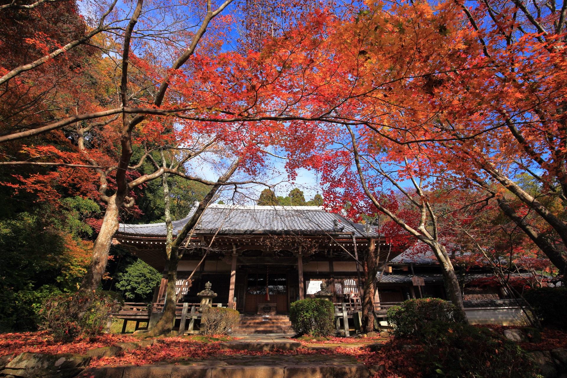 晴れている時の太陽を浴びる煌びやかな紅葉と本堂
