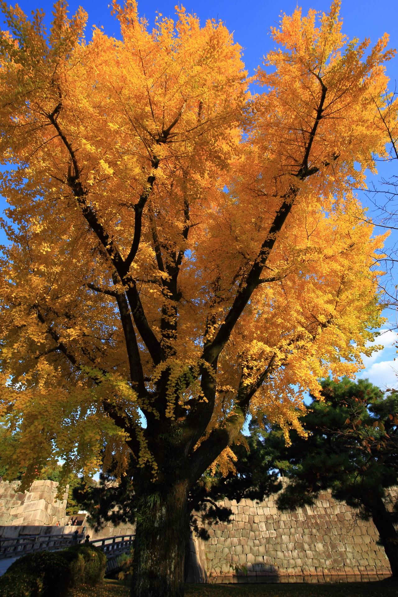 Kyoto Nijo-jo Castle ginkgo tree