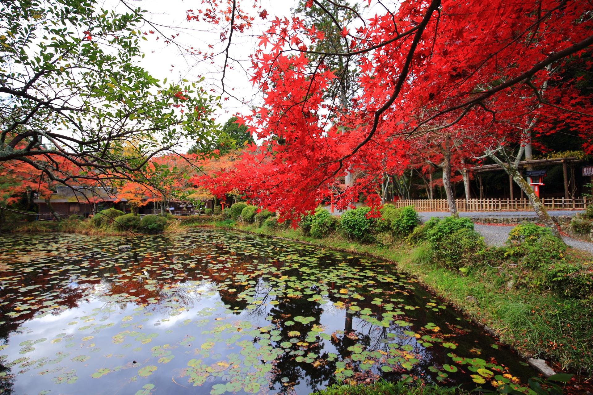 大原野神社の鯉沢の池の水辺を染める真っ赤な紅葉