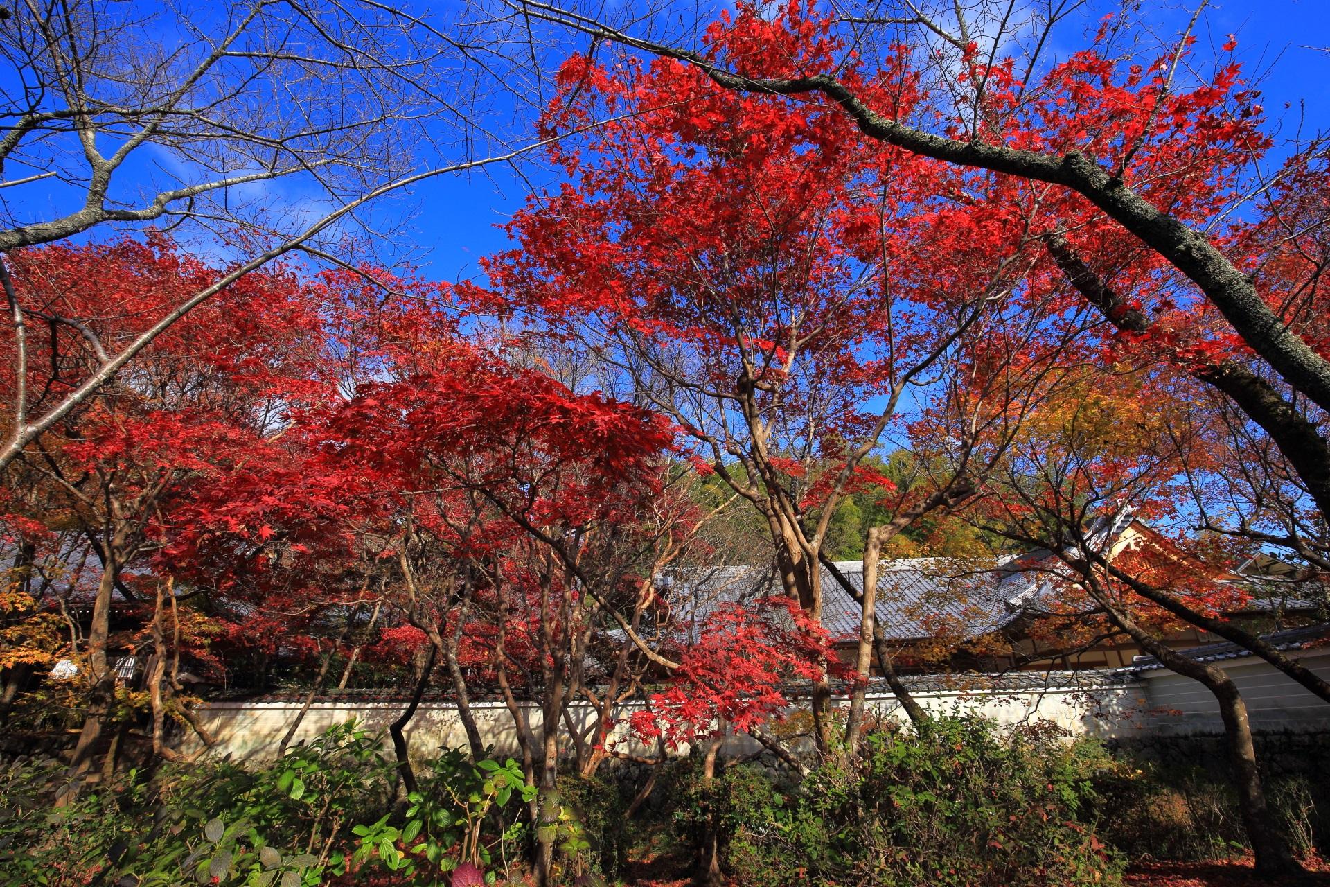 鮮やかに色づいた青空に映える鮮烈な赤色の紅葉