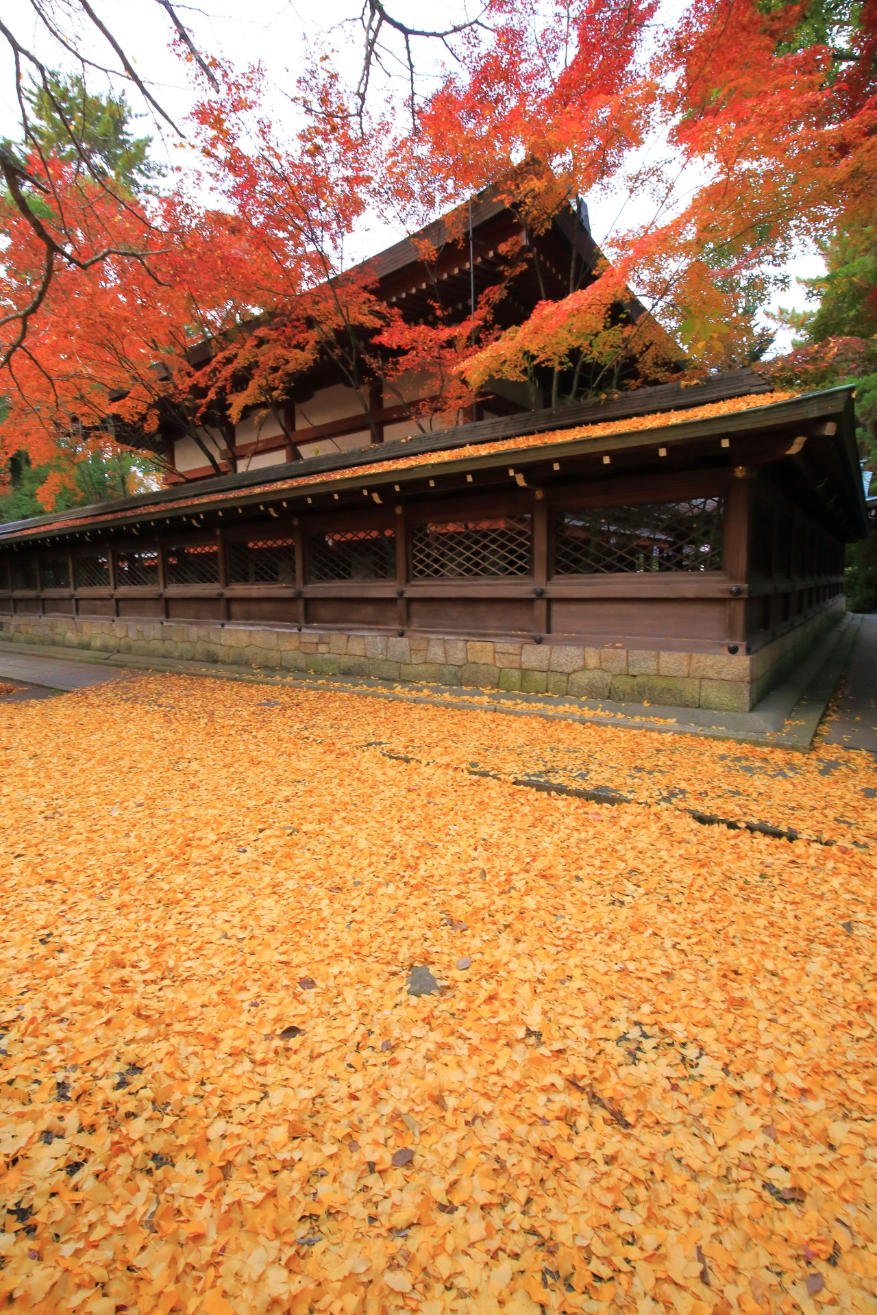 ginkgo Kamigoryo-jinja shrine in Kyoto,Japan