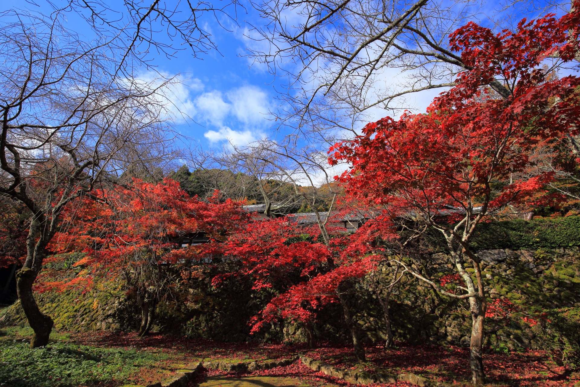 colored leaves Shojiji-Temple in Kyoto,Japan