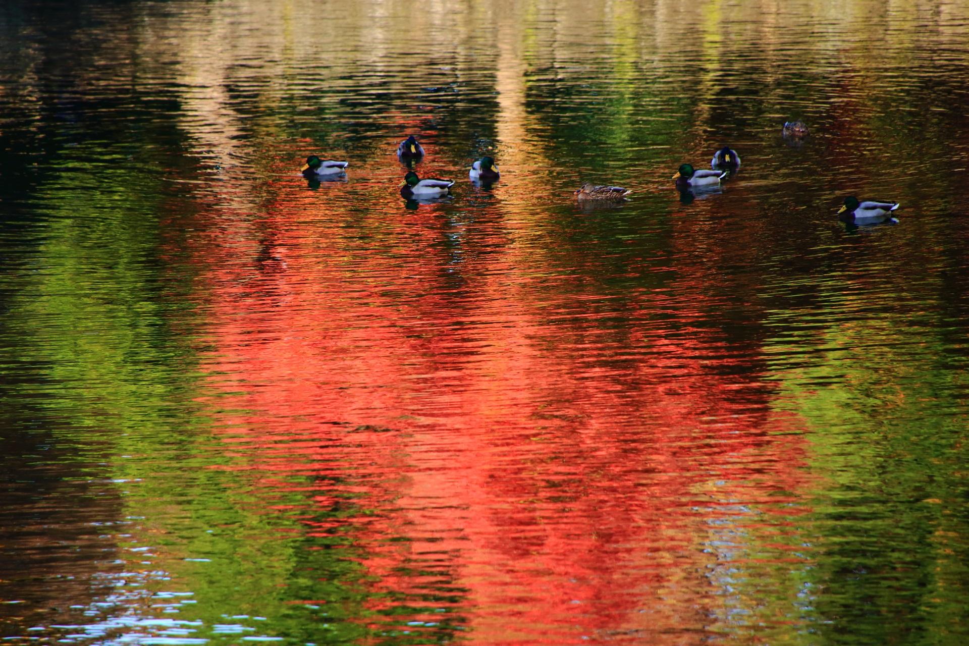 二条城の紅葉の水鏡と鴨とのどかに揺れる赤と緑の水面