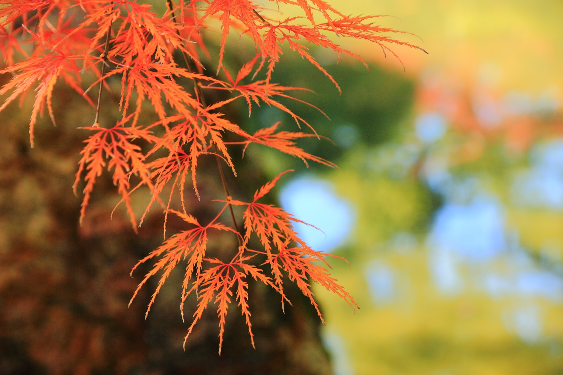 非常に繊細な色づいたもみじの葉