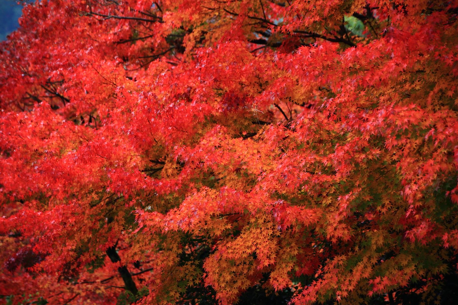 最高の見ごろをむかえた光悦寺の紅葉