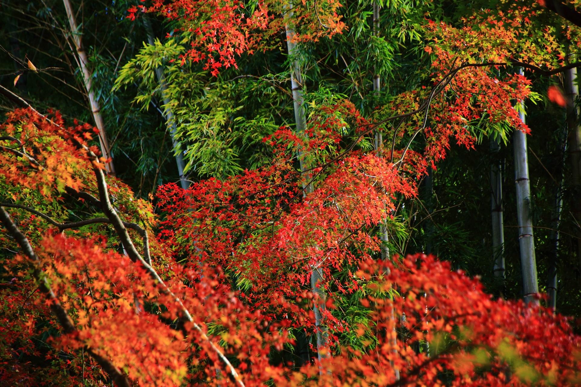 地蔵院の淡い緑の竹を彩る煌びやかな紅葉