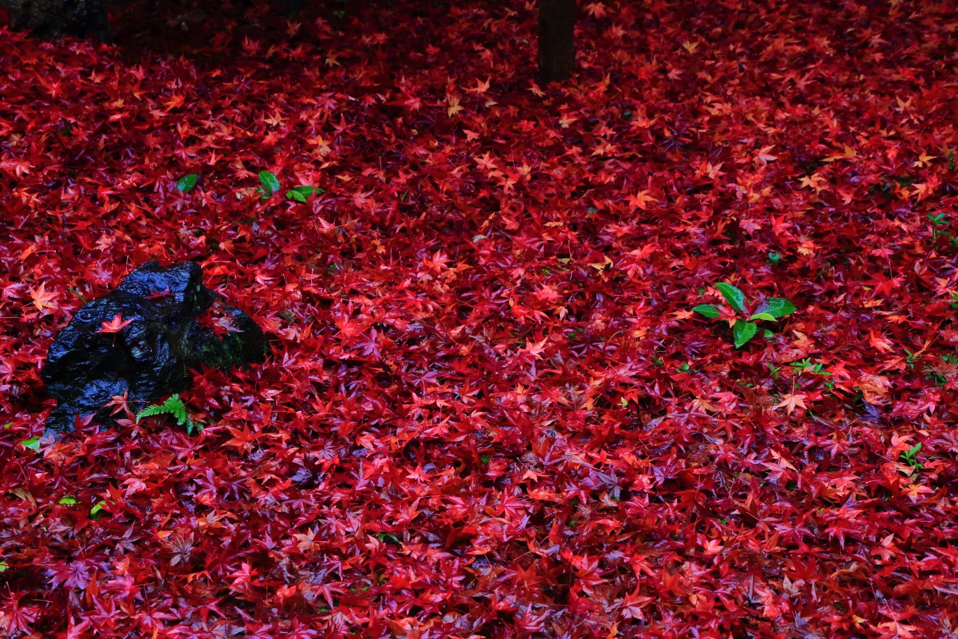 鮮烈な彩りの金福寺の圧巻の紅葉の絨毯