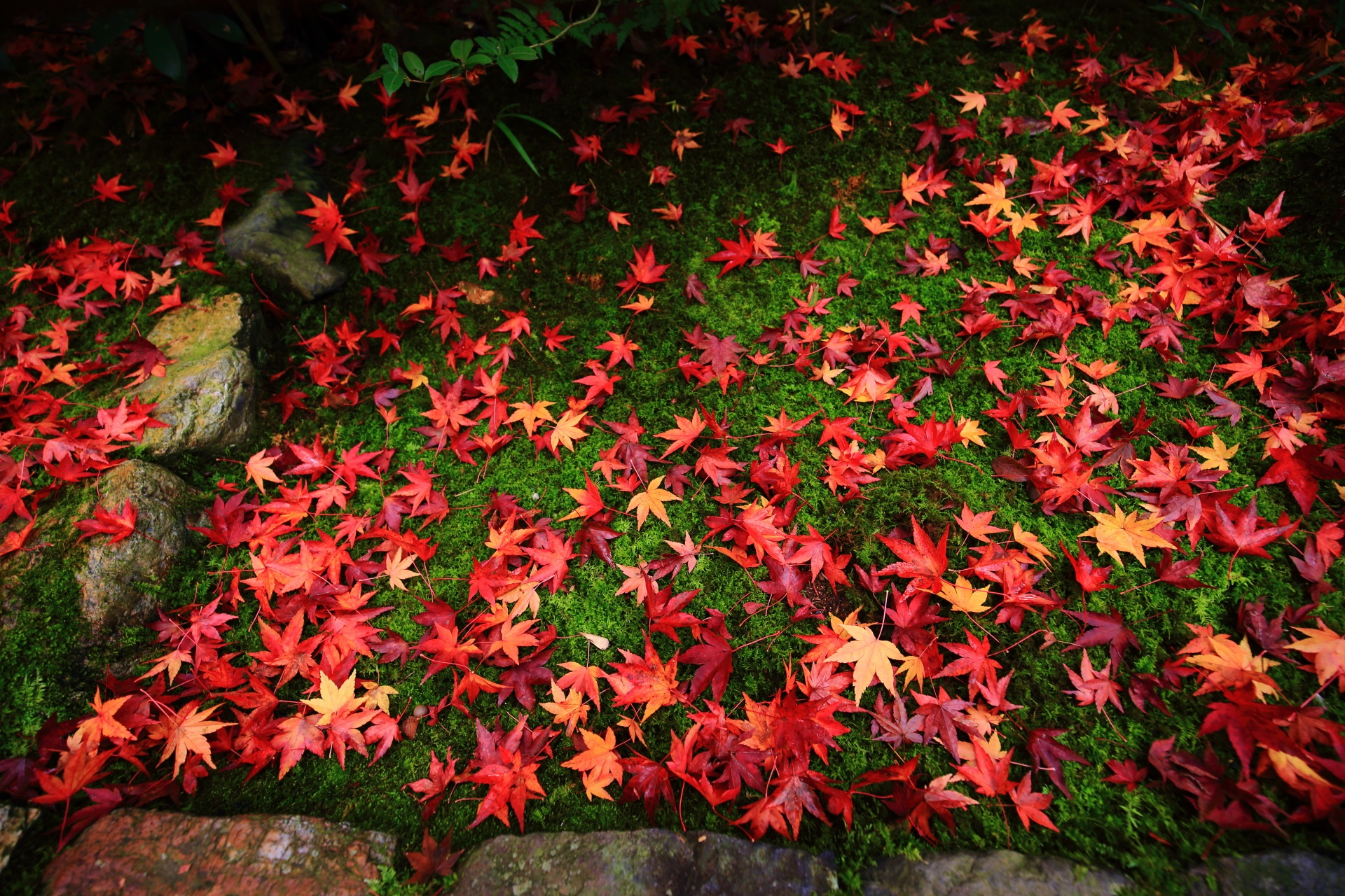 autumn leaves and moss Koetsu-ji Temple in Kyoto,Japan