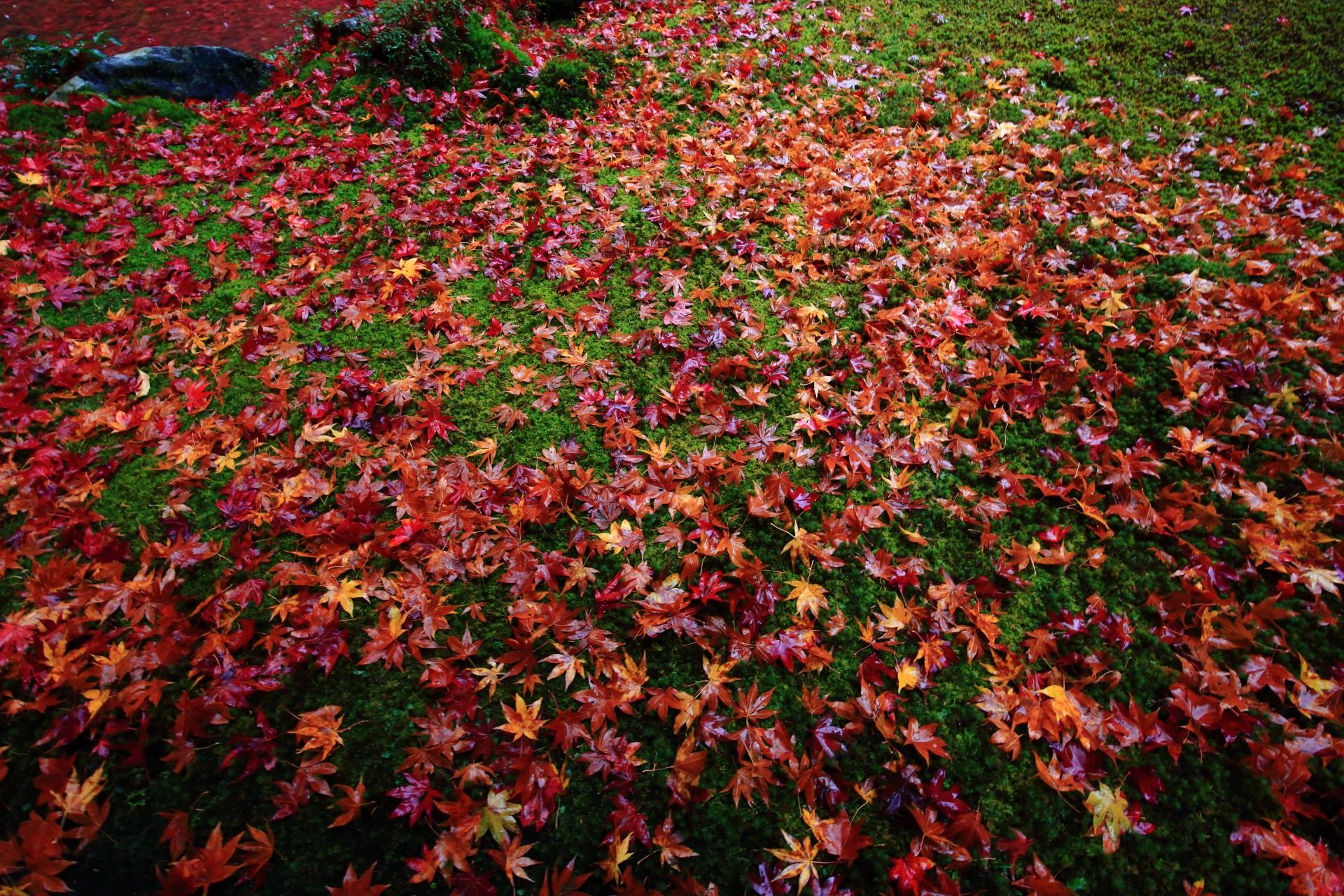 雨が美しさを引き立てる散りもみじと苔