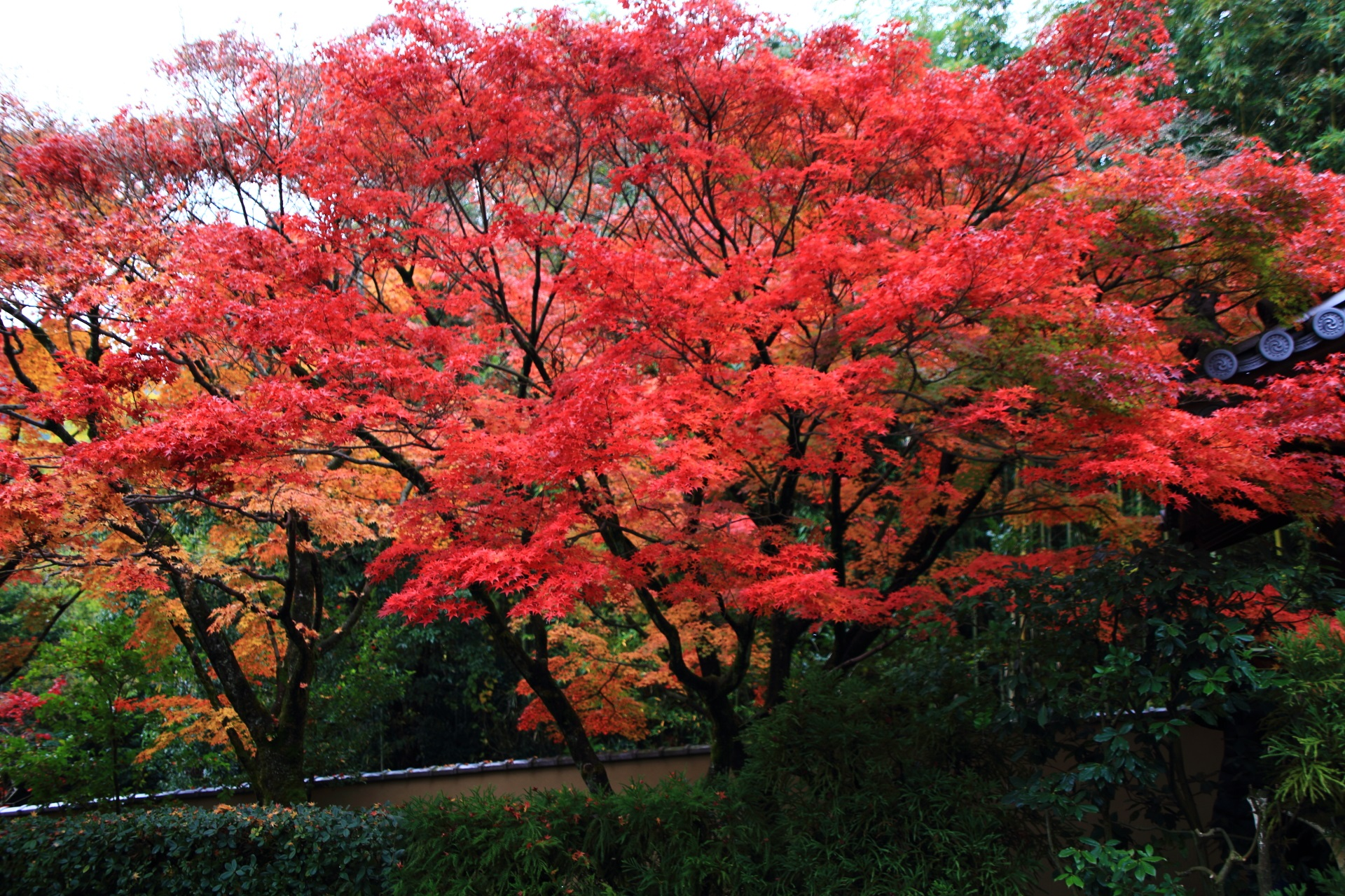 参道の横から眺めた溢れ出す真っ赤な紅葉