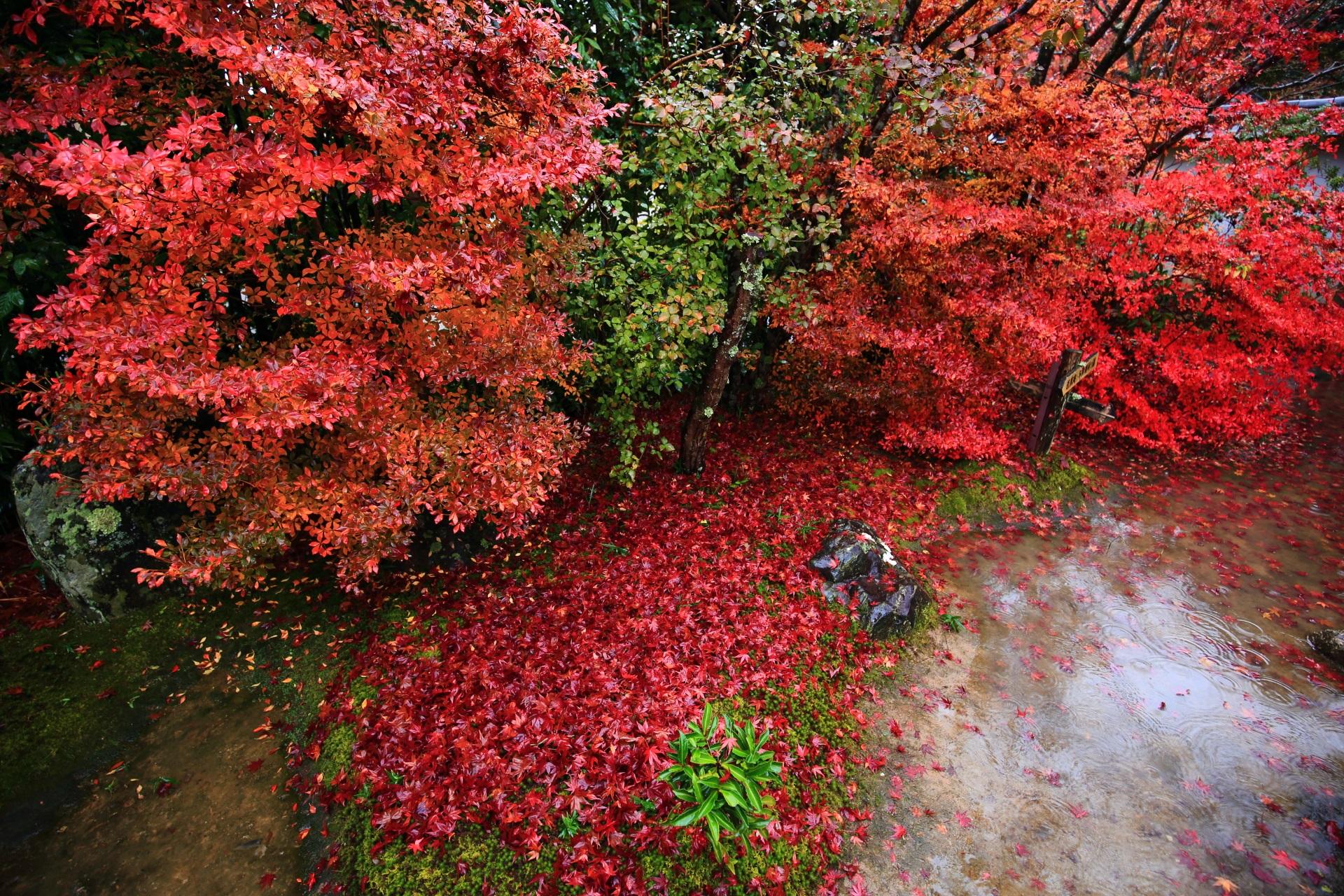 金福寺の鮮やかに色づくドウダンツツジと豪快な散りもみじ