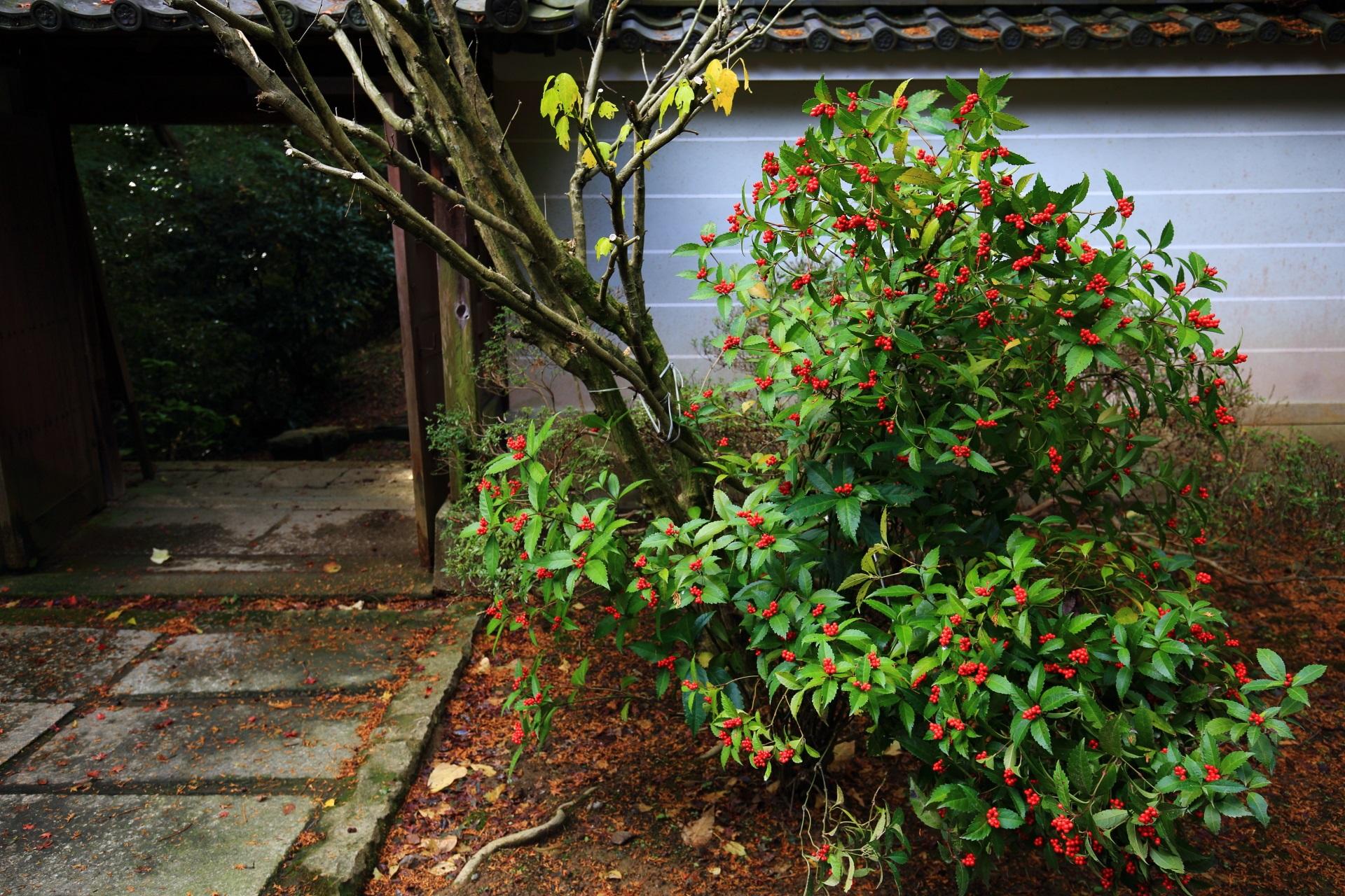 山崎聖天の聖天堂横の赤い実をつけた千両
