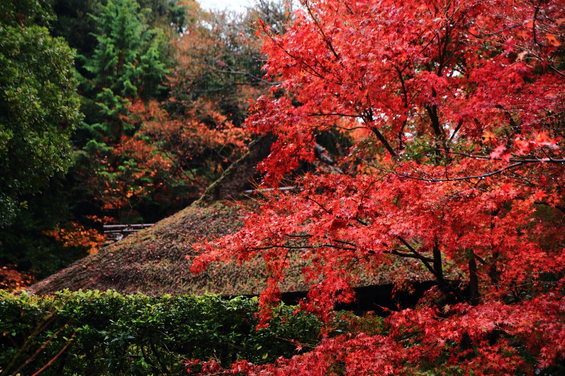 芭蕉庵の茅葺屋根を彩る鮮やかな赤い紅葉
