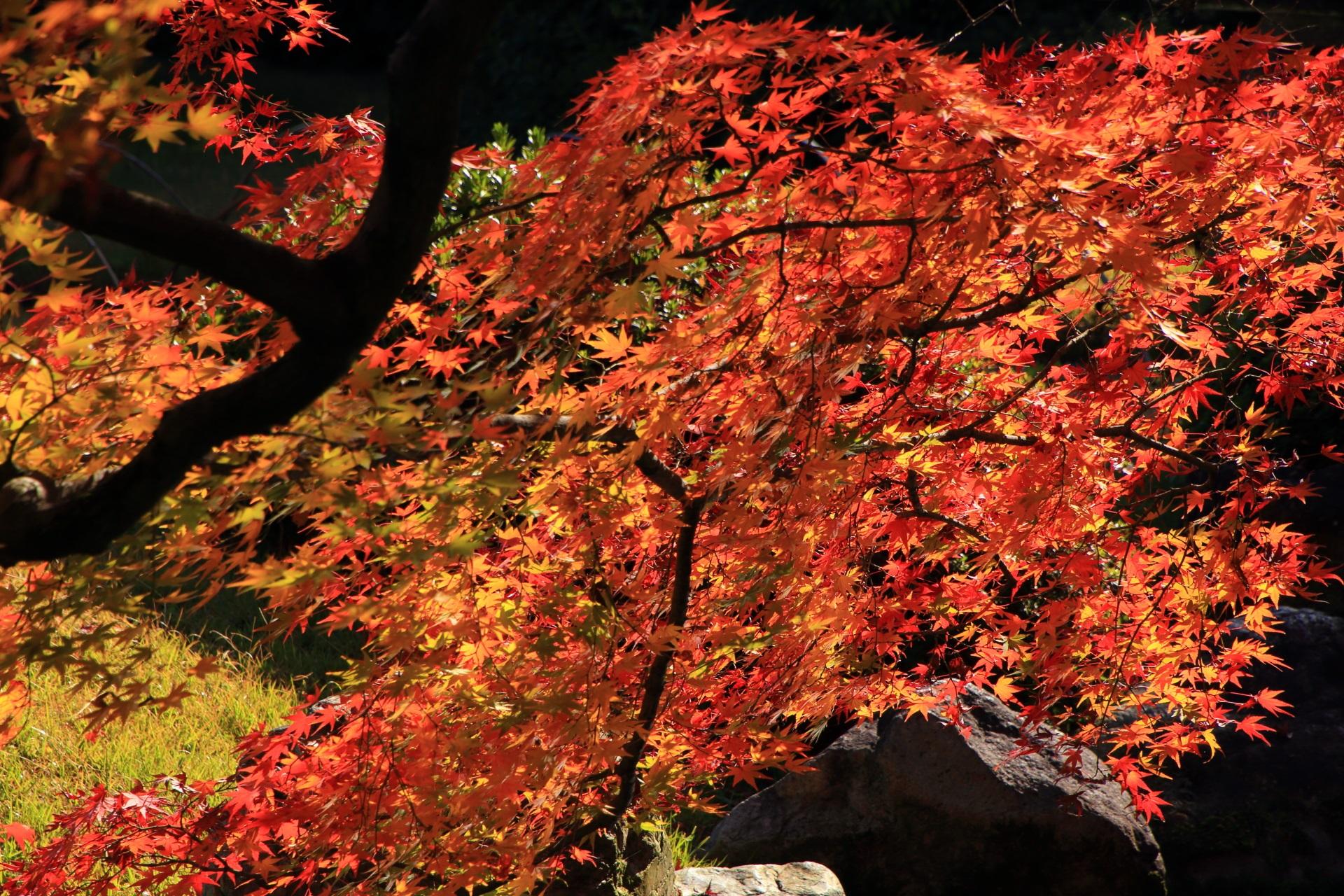 室町の庭の奥の方の煌く紅葉