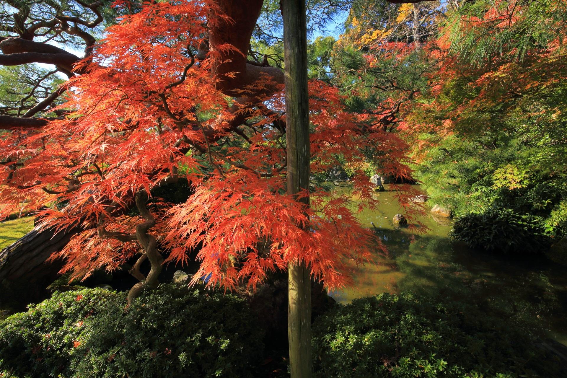 背景や周辺の緑にも映える見事な色合いの紅葉