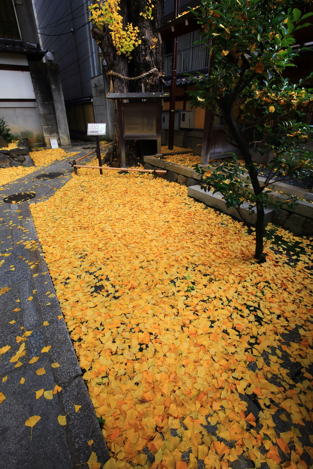 Kyoto Honnoji-Temple scattered ginkgo
