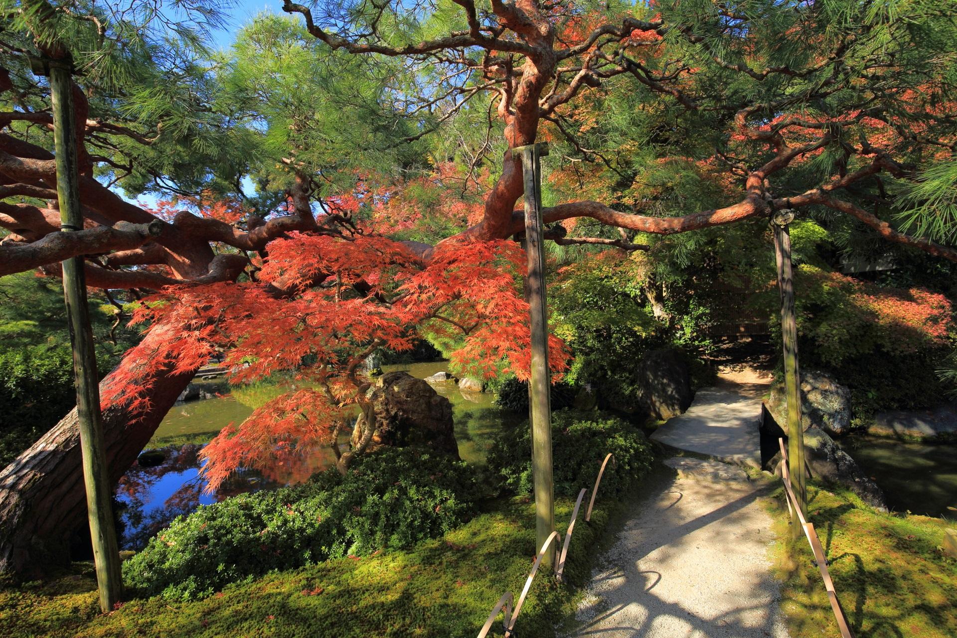 立派な赤松とほのかに光る紅葉