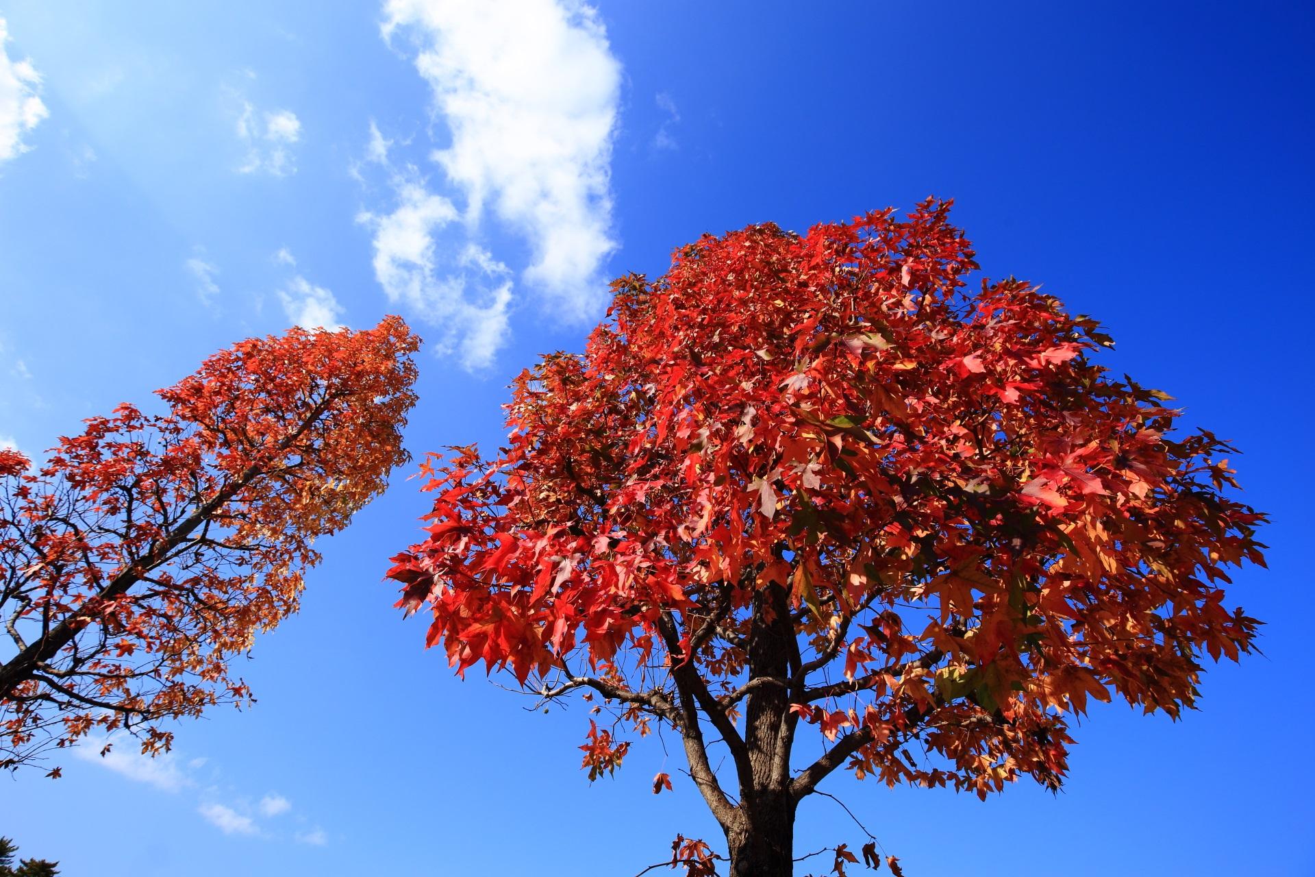 二条城の外の通りの見事に紅葉した街路樹