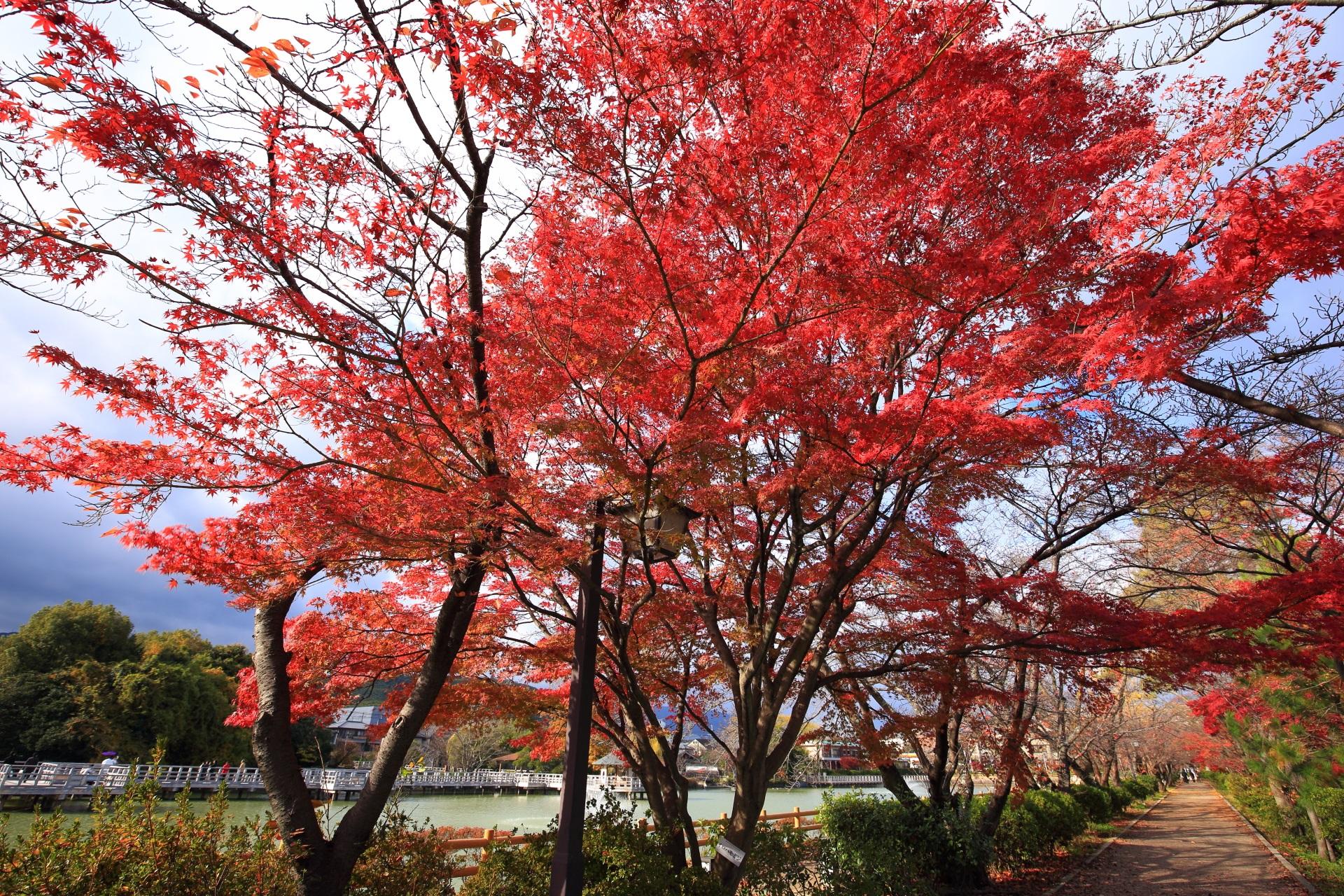 予想以上の鮮やかな色づきの長岡天満宮の紅葉