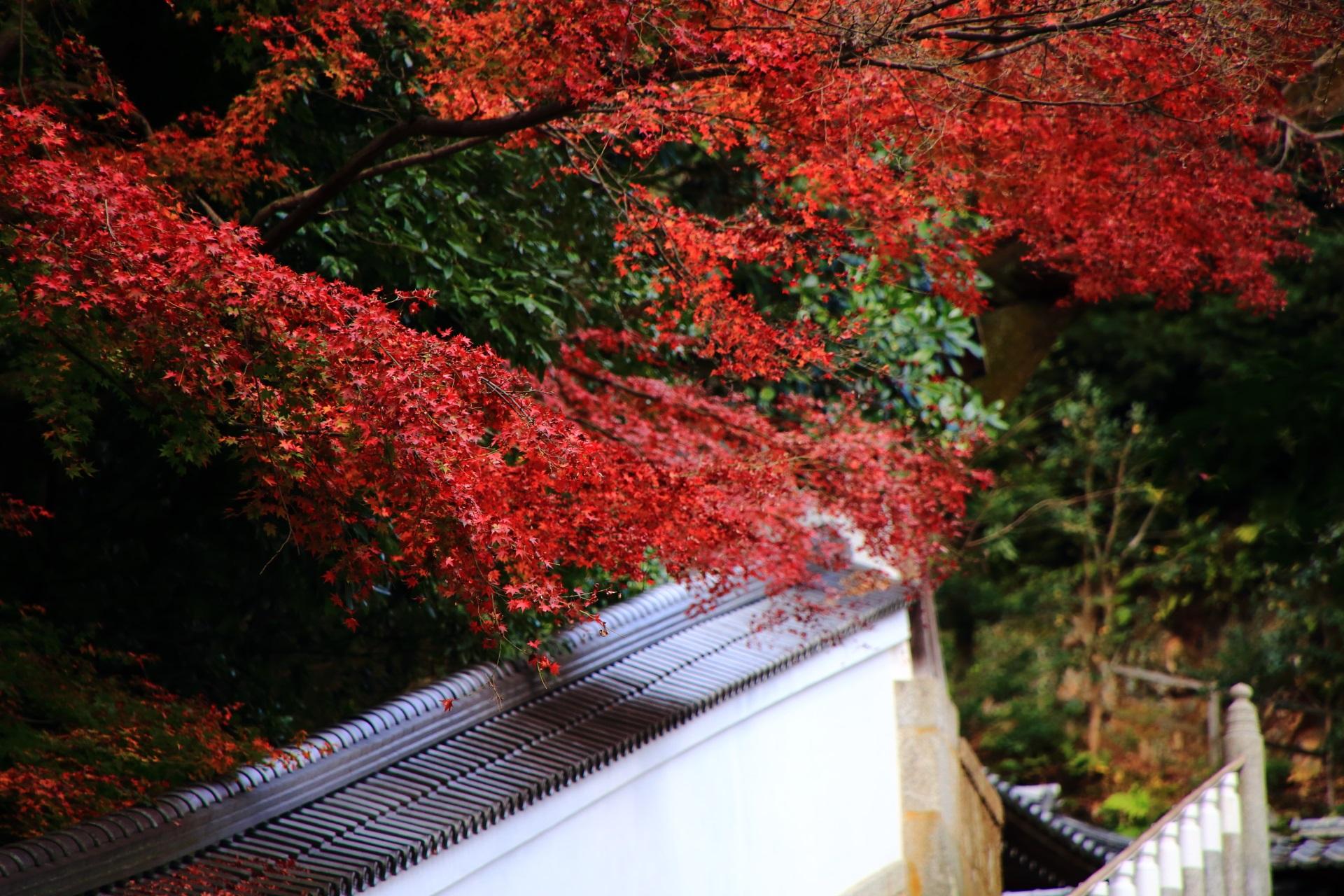 鮮やかに色づく白壁に映える紅葉