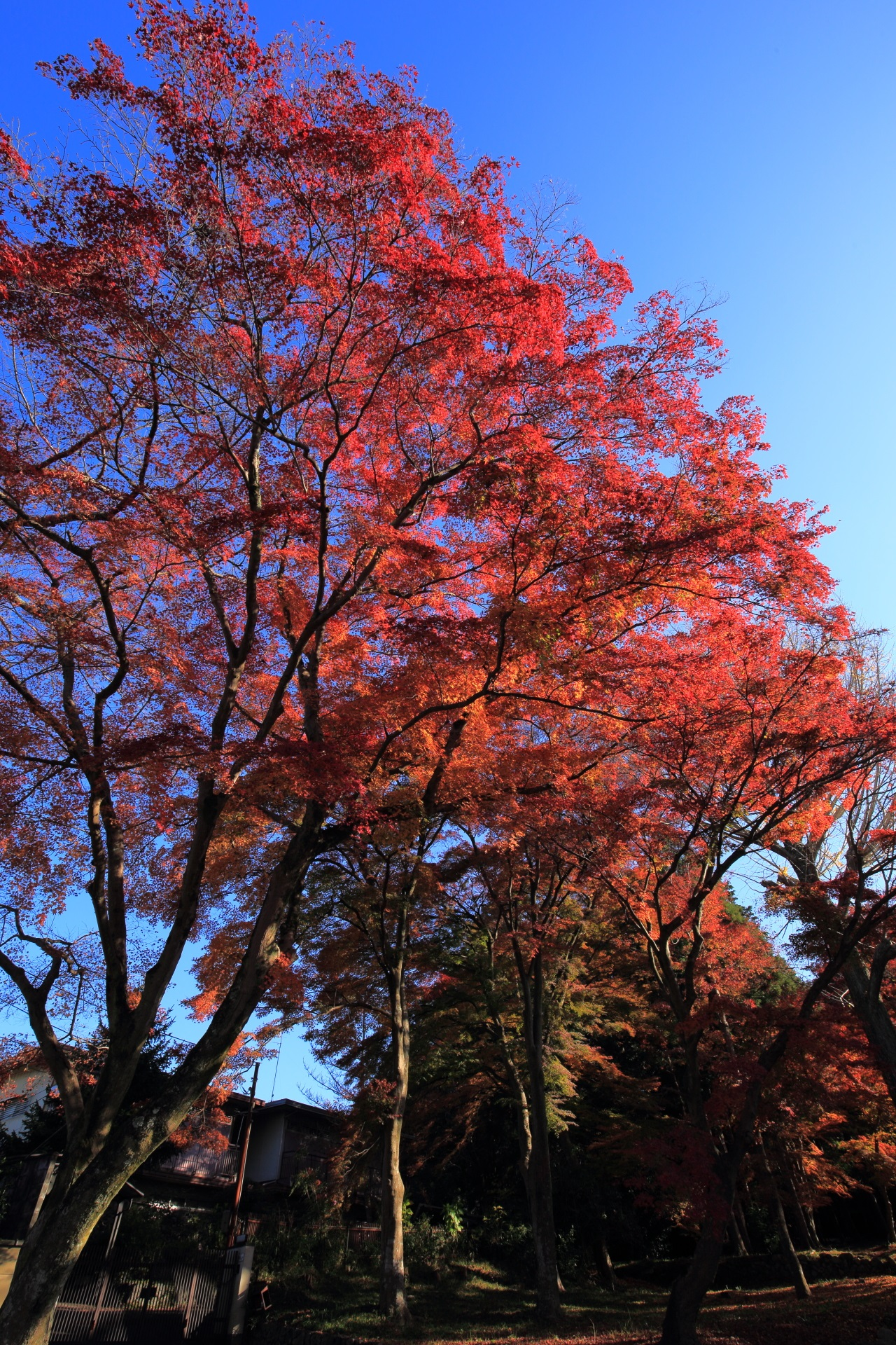 Kyoto Saginomori-jinja shrine colored leaves