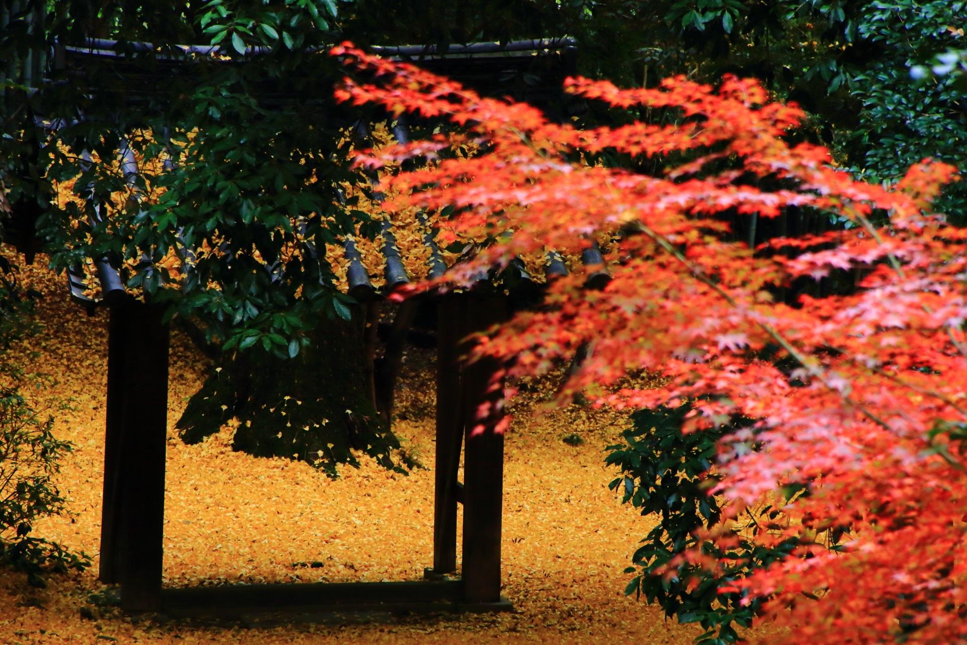散り銀杏と華やかな朱色の紅葉