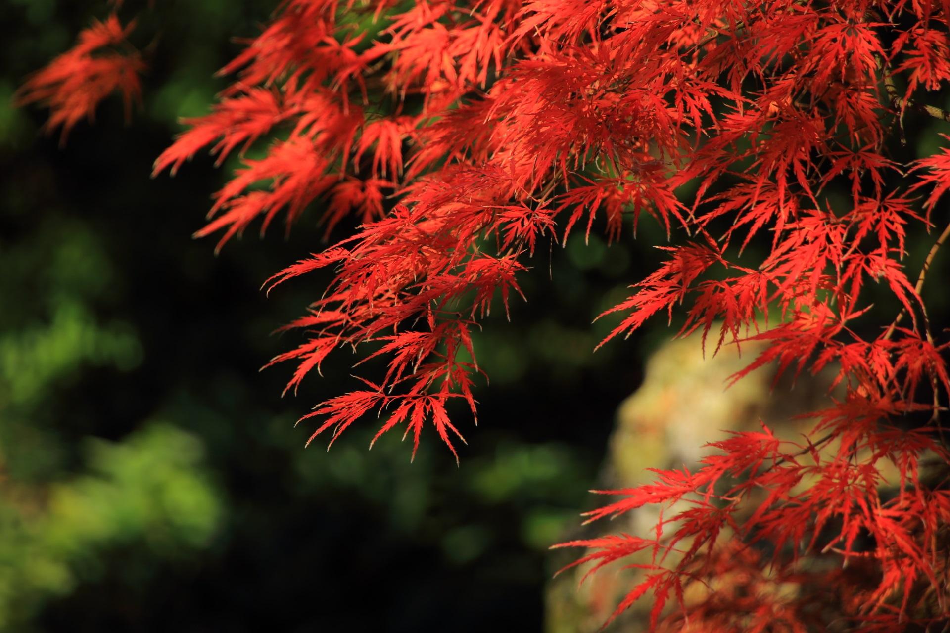 綺麗に色づく室町の庭の紅葉