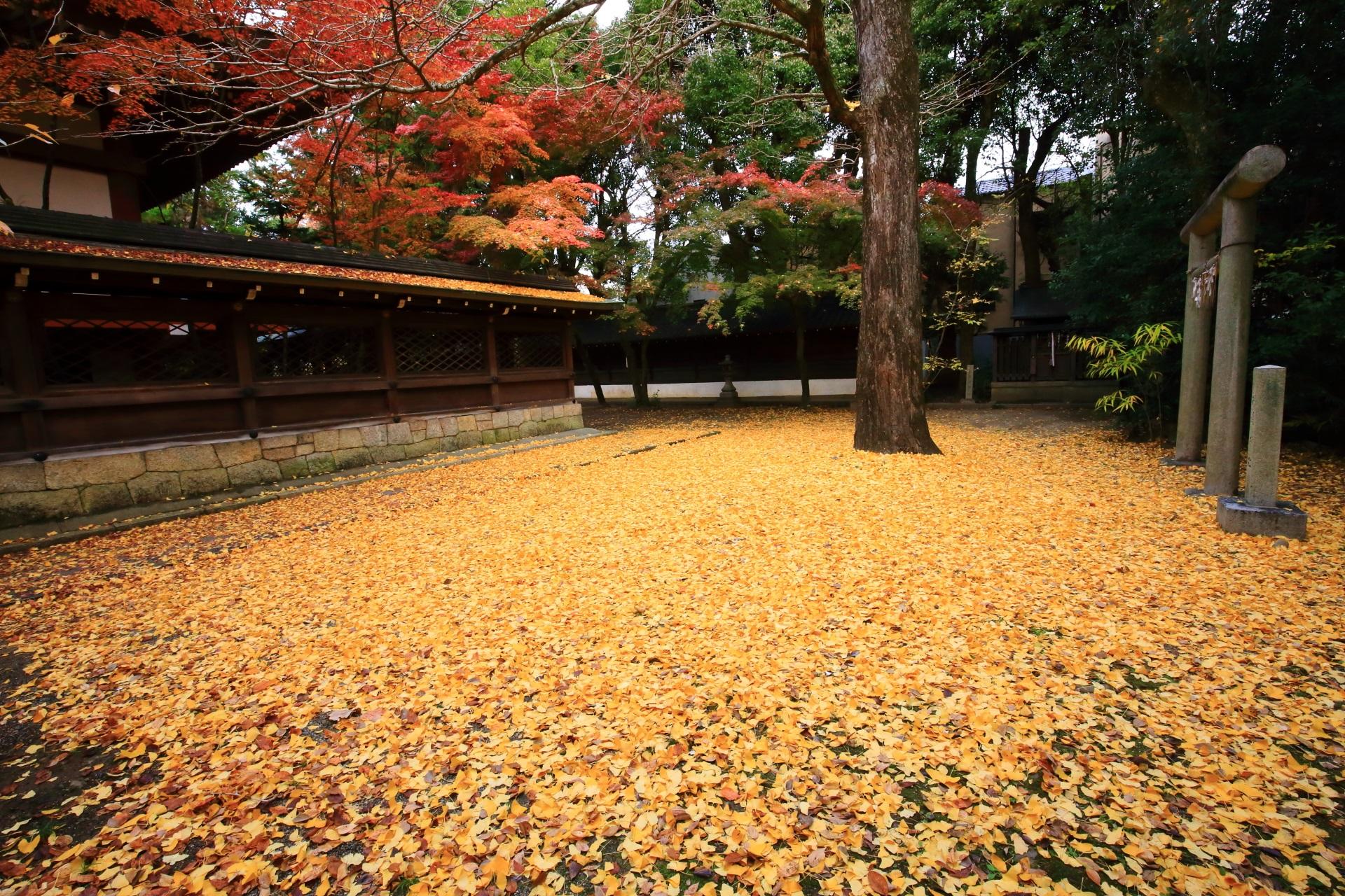 上御霊神社の本殿の裏(本殿東側)の散り銀杏と紅葉