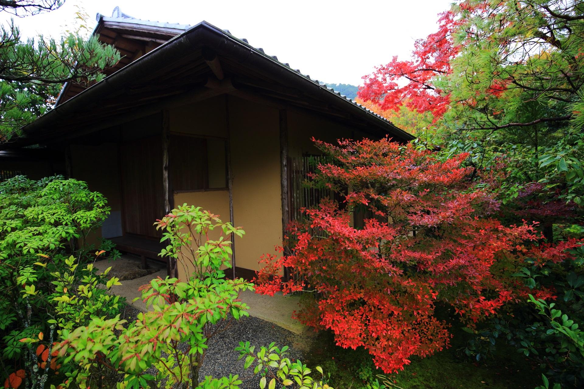 光悦寺の茶室を彩る鮮やかなツツジの紅葉