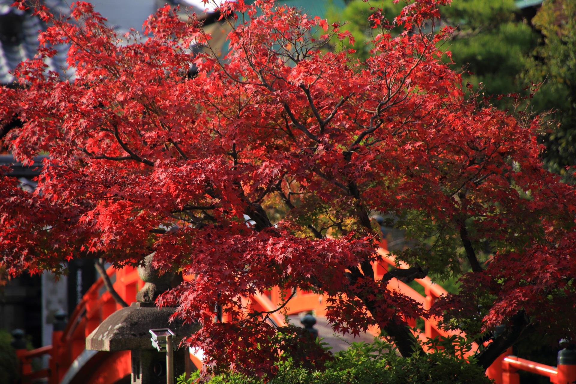 太陽を浴びて真っ赤に煌く紅葉