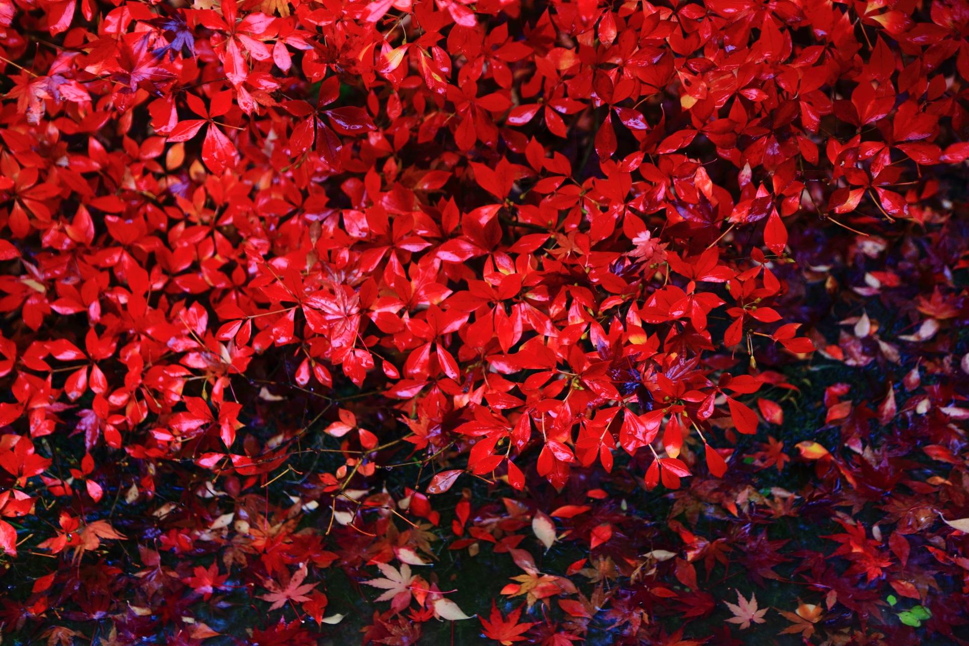 雨で輝く紅葉したドウダンツツジの赤い葉