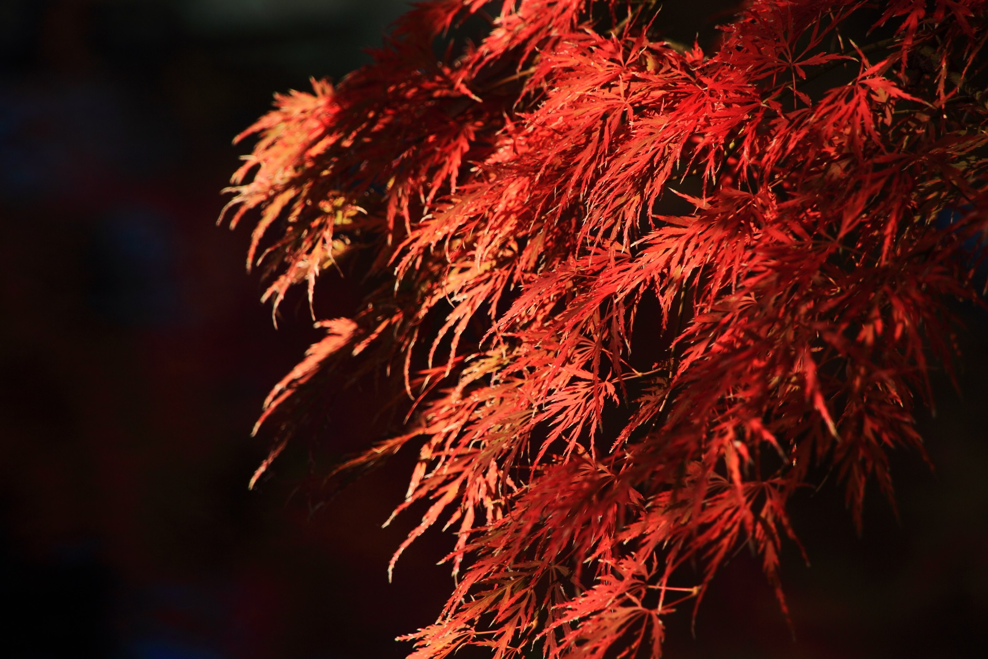 日を浴びて煌く華やかな紅葉