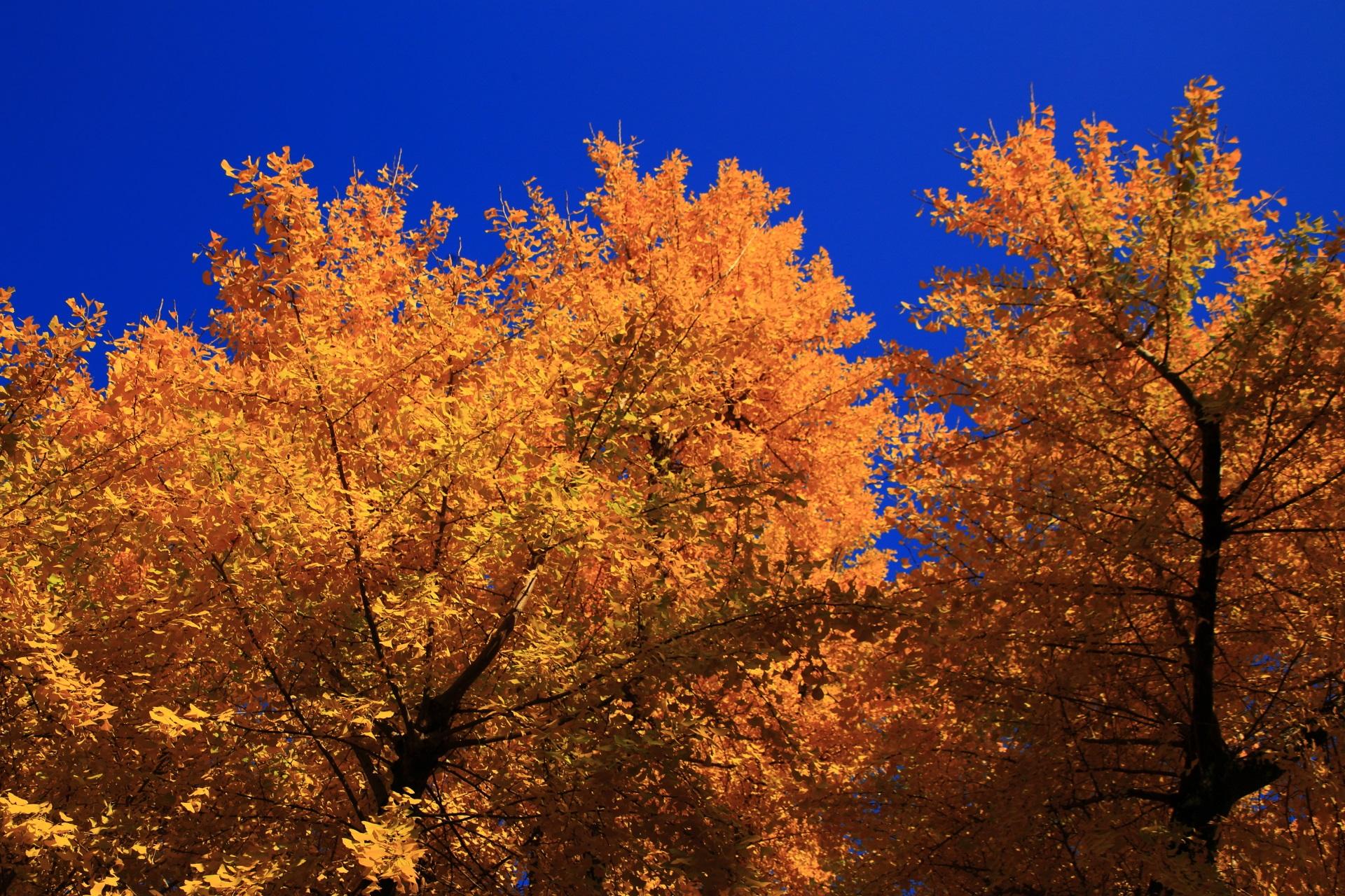 二条城の青空に輝く黄色い銀杏