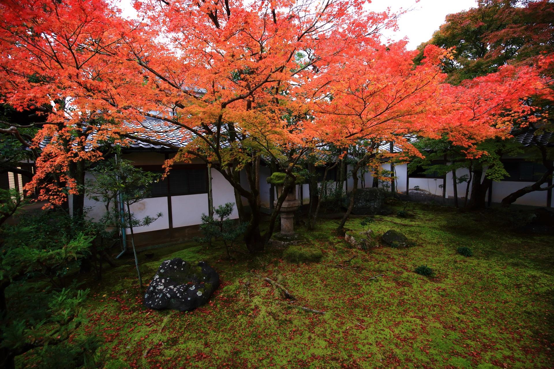 仁和寺の黒書院前の中庭の枝を大きく広げて華やぐ紅葉
