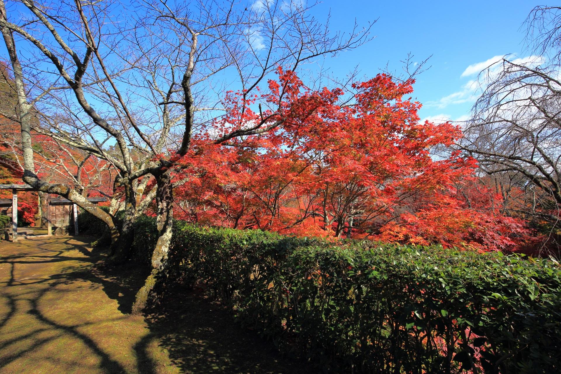緑の生垣から溢れ出す鮮やかな紅葉