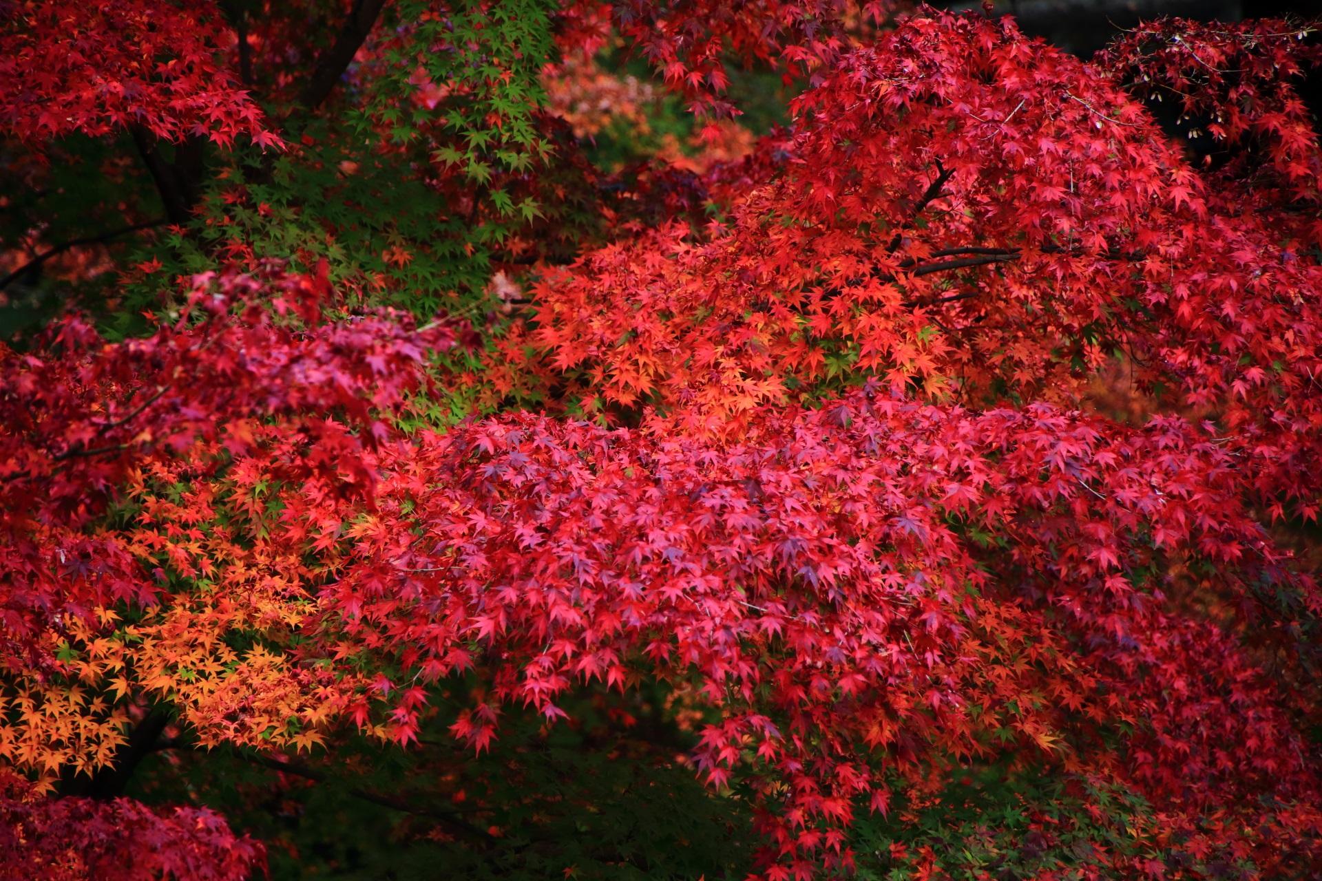 知恩院の色とりどりの美しすぎる紅葉