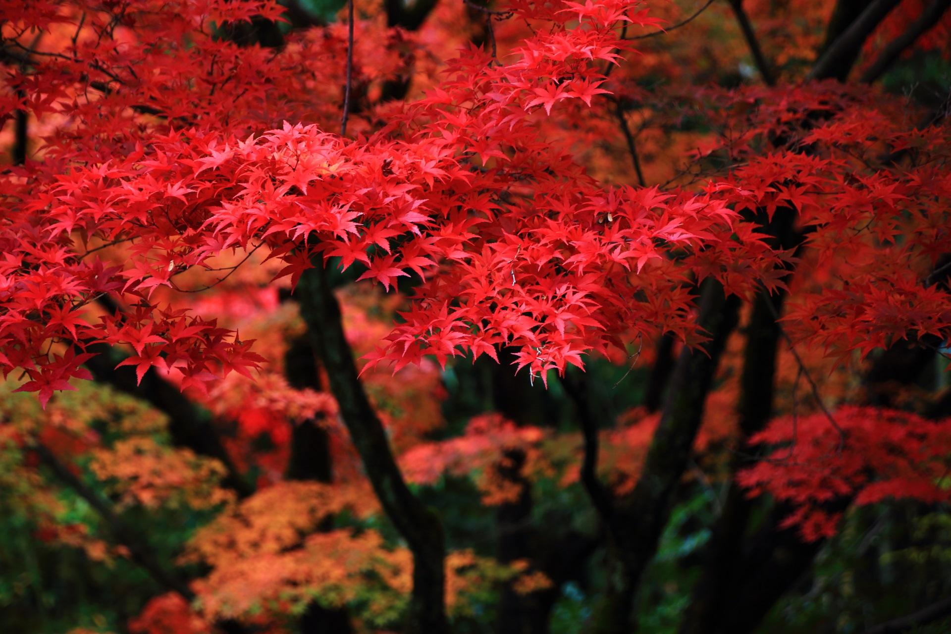 早朝の冷たい秋風に揺らめく艶やかな紅葉