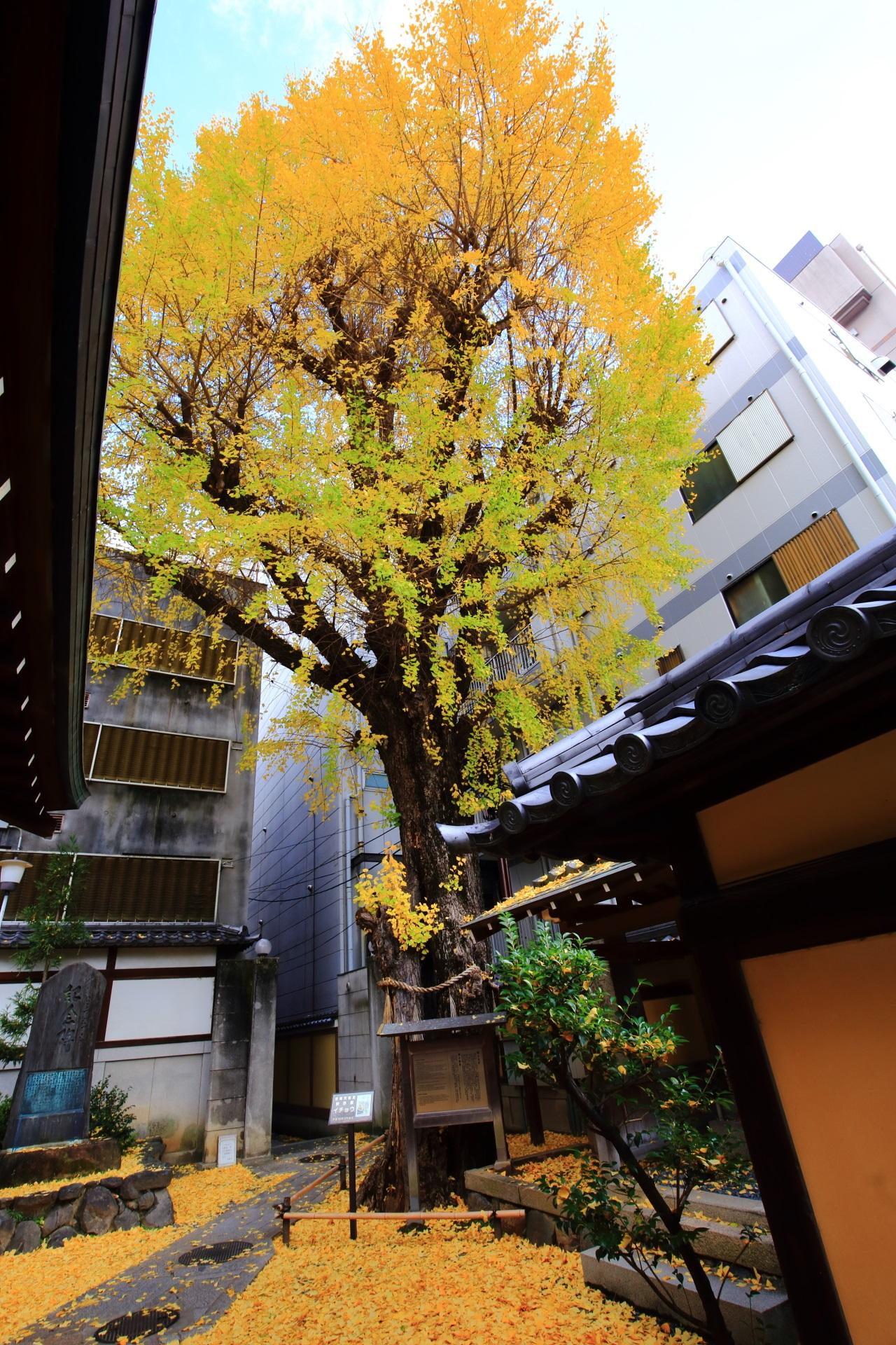 上も下も黄色に染める本能寺の立派な銀杏の木