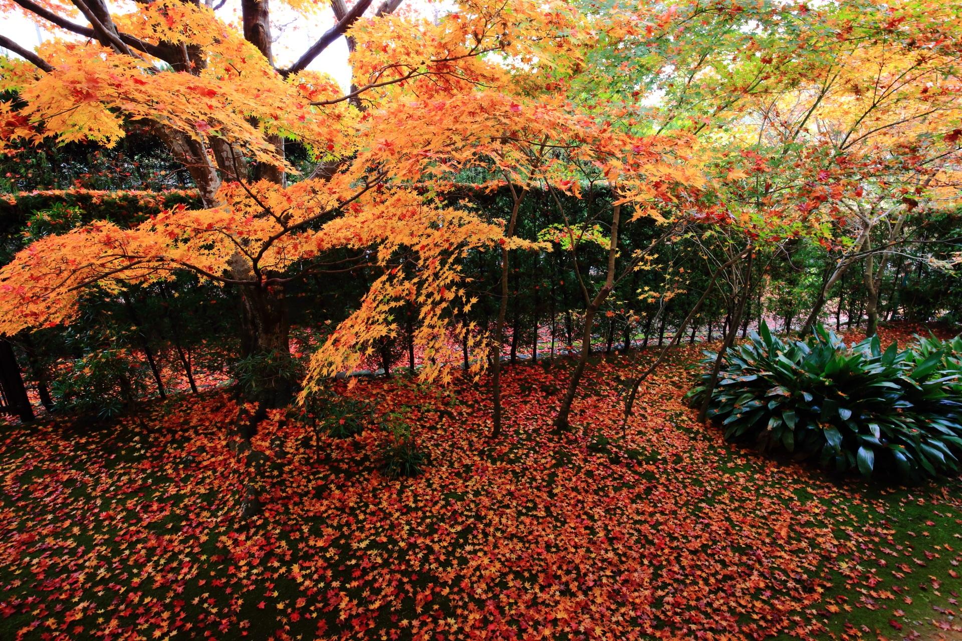 源光庵の本堂横の紅葉と圧巻の散りもみじ