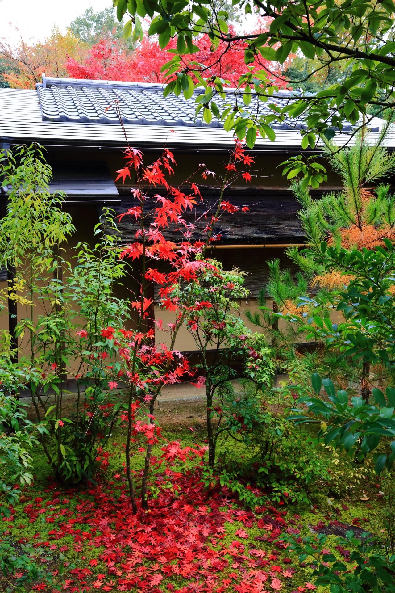 光悦寺の茶室前の紅葉と散りもみじ