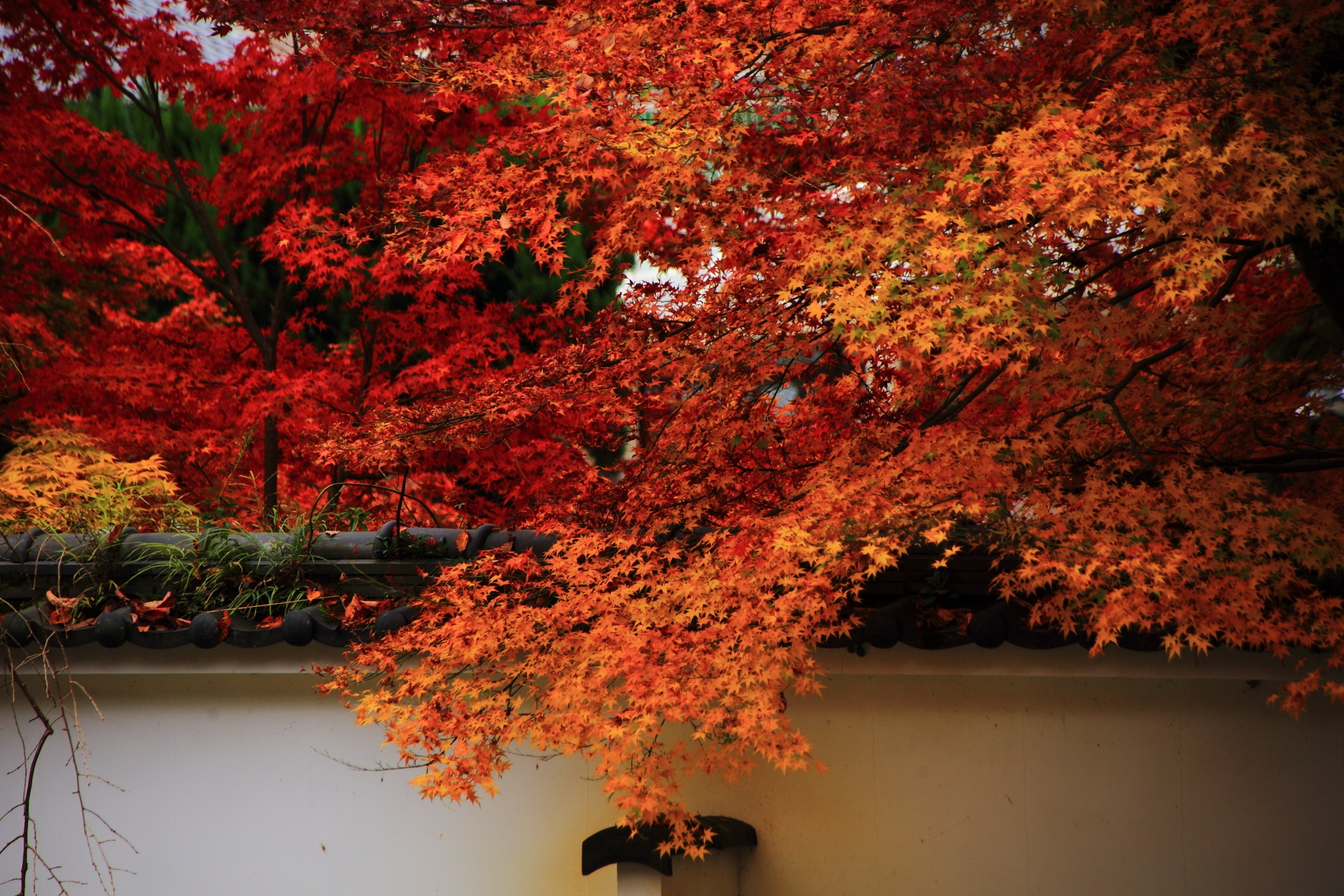 白壁を越えて華やぐ山門前の鮮やかな紅葉