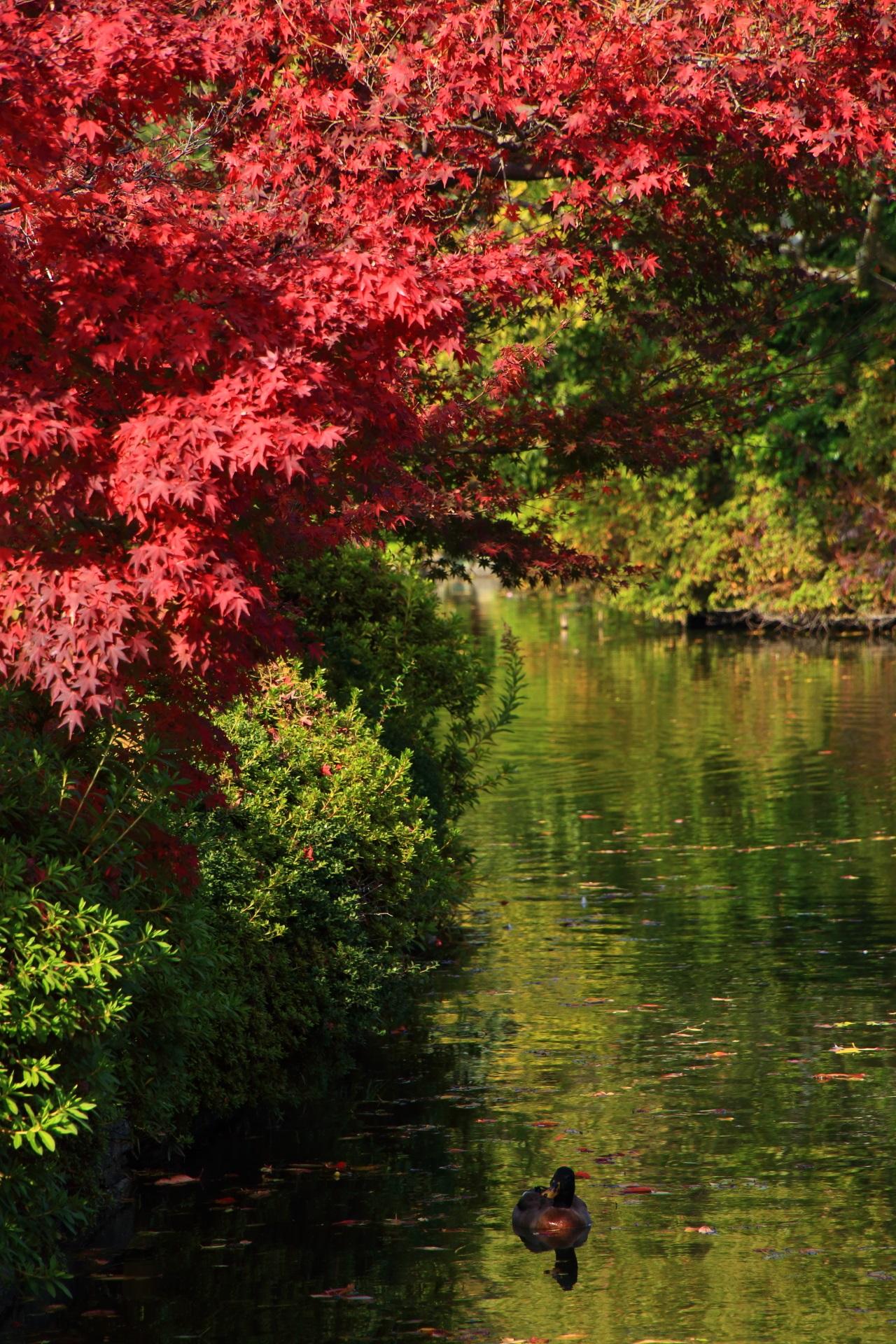 真っ赤な紅葉の下で優雅に泳ぐ鴨さん