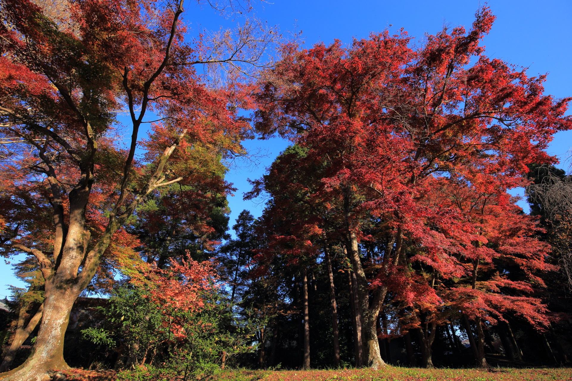 真っ赤に染まる大きな紅葉